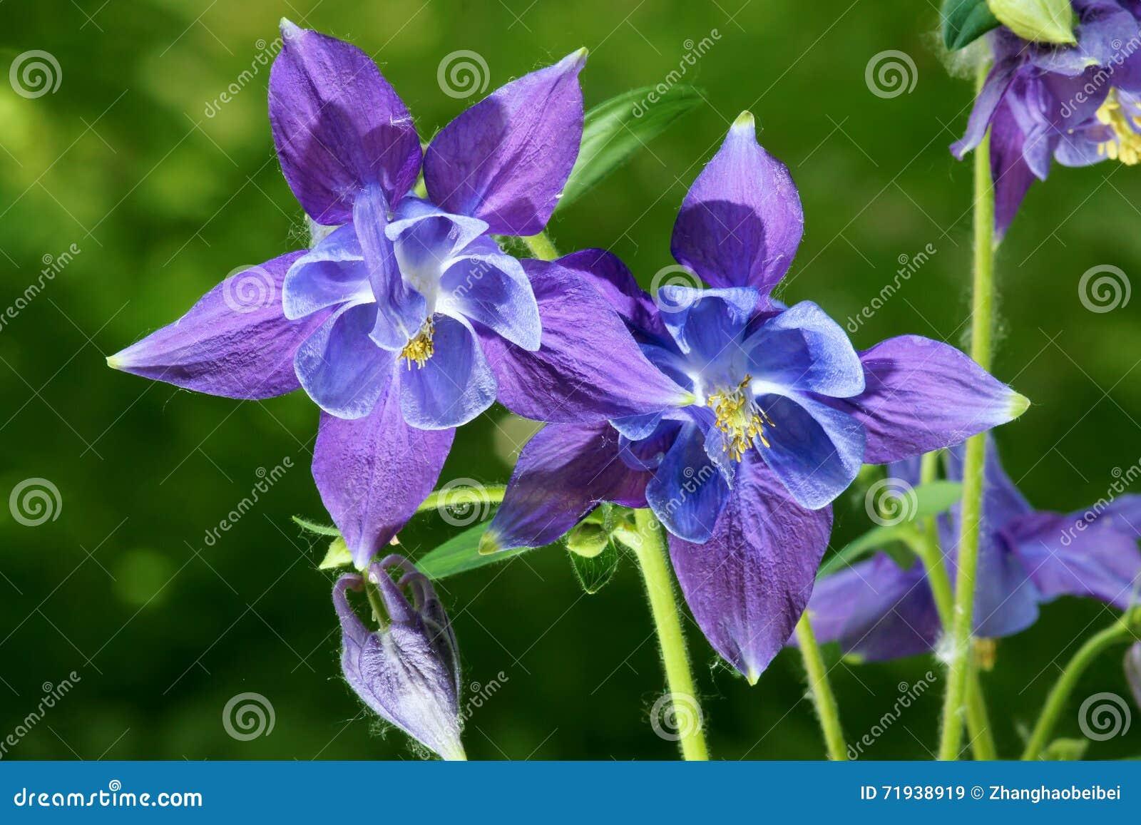 Цветки Columbine