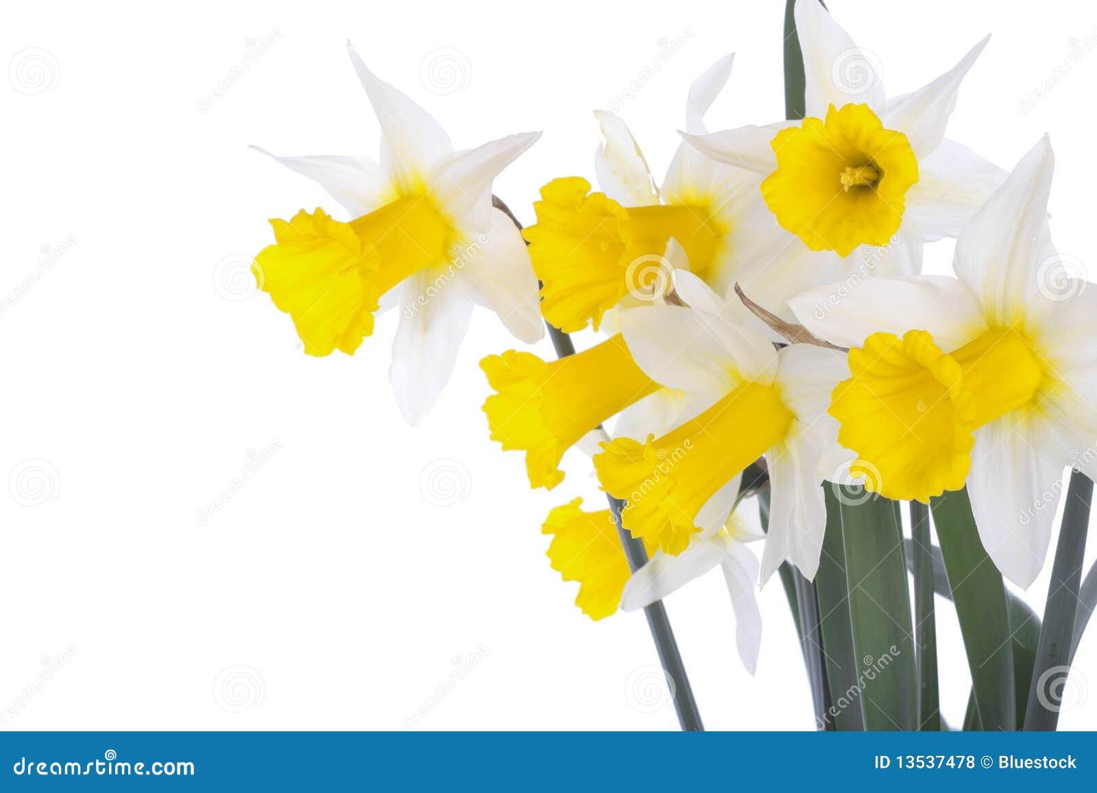 цветки daffodil изолированные над белизной весны