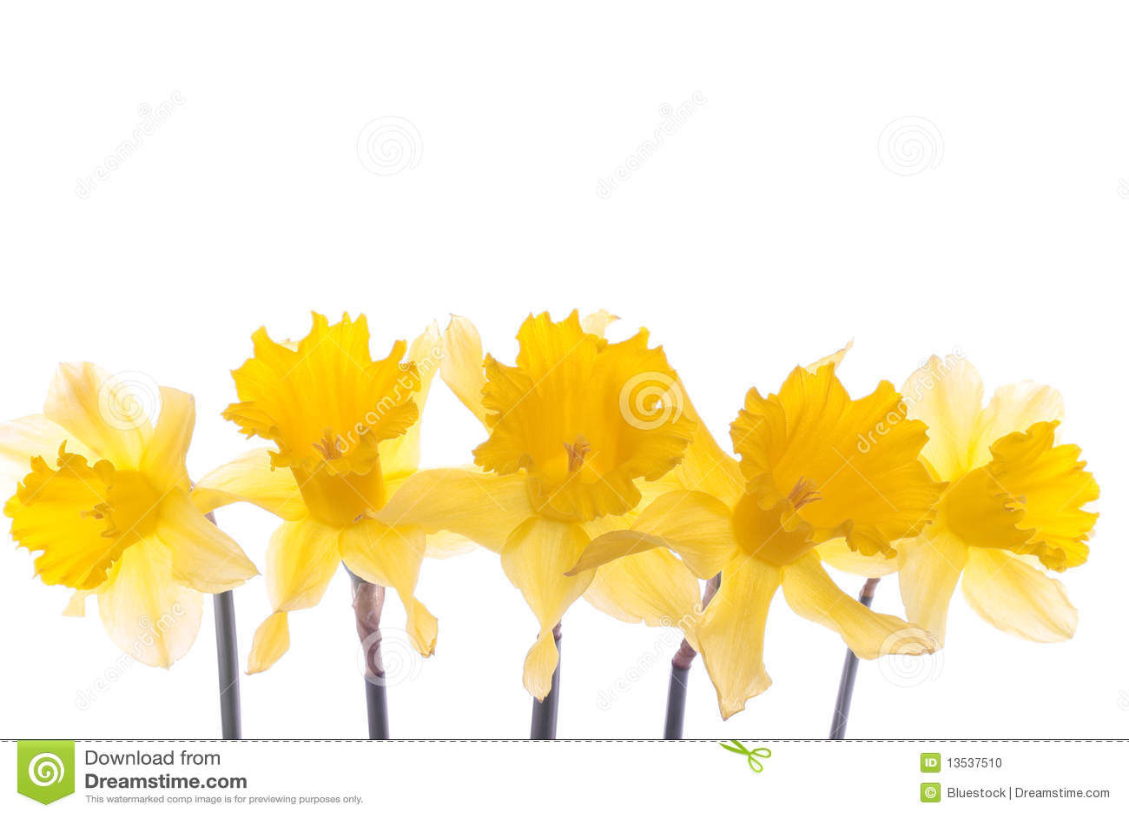 цветки daffodil над белизной весны