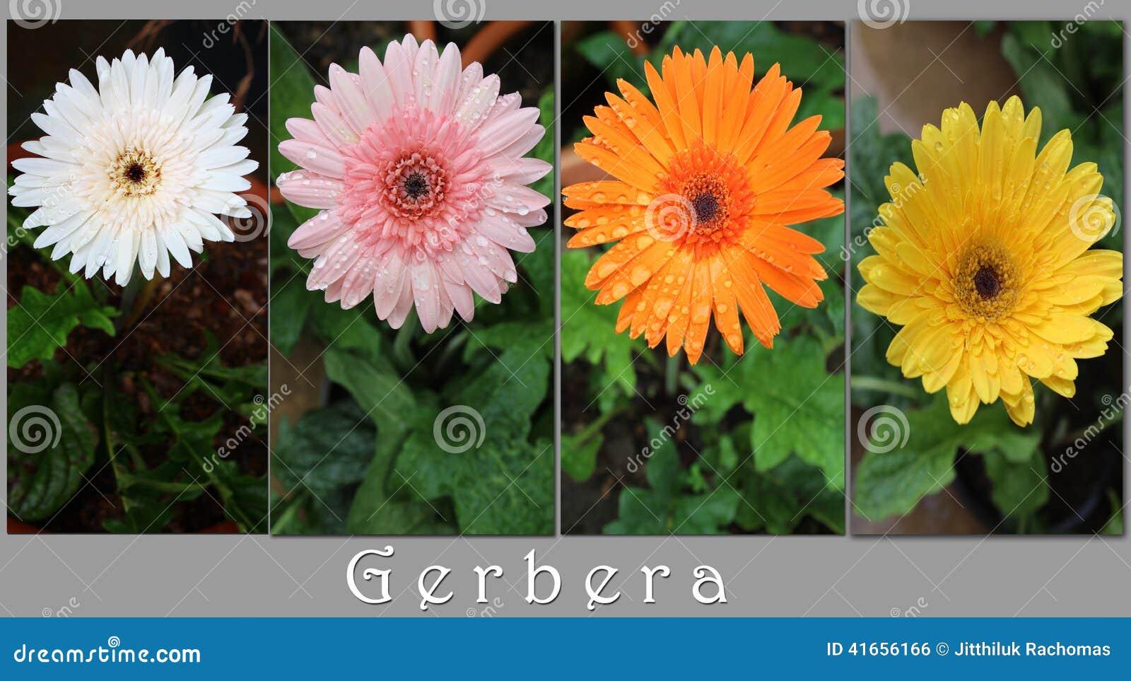 Цветки Gerbers