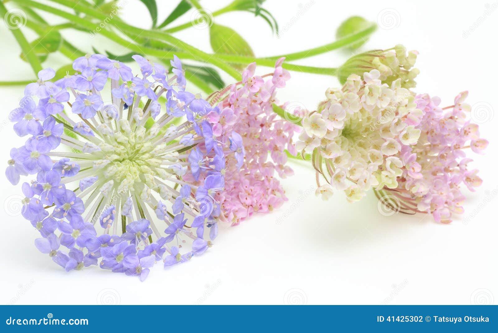 Цветки Pincushion в белой предпосылке