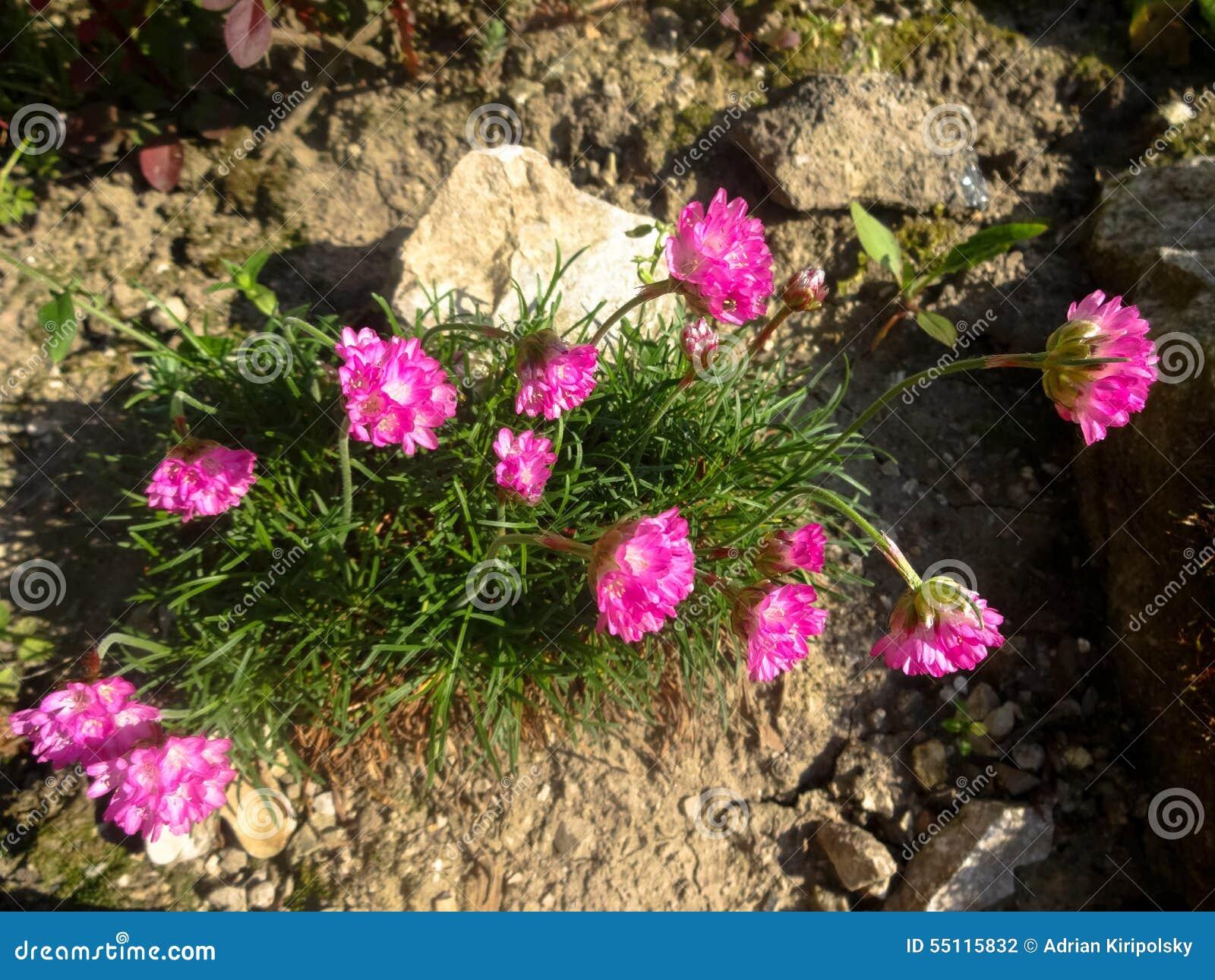Цветки Rockery