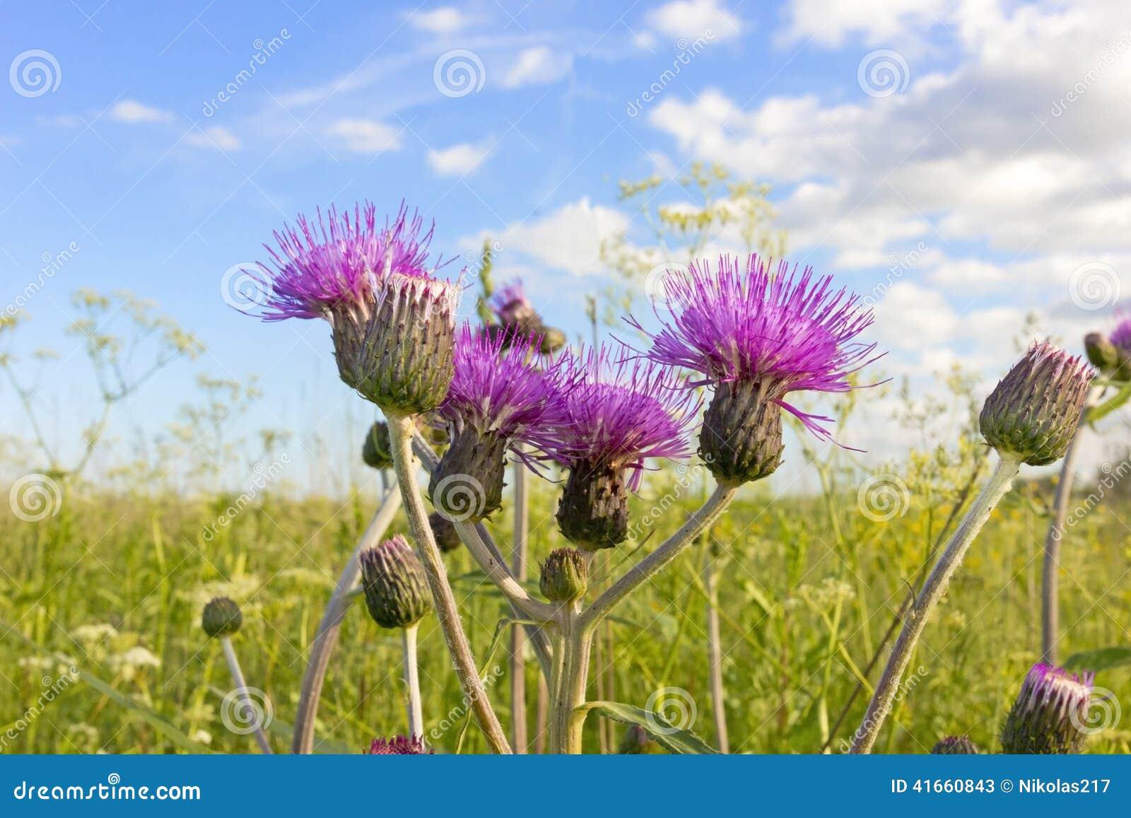 Цветки Thistle