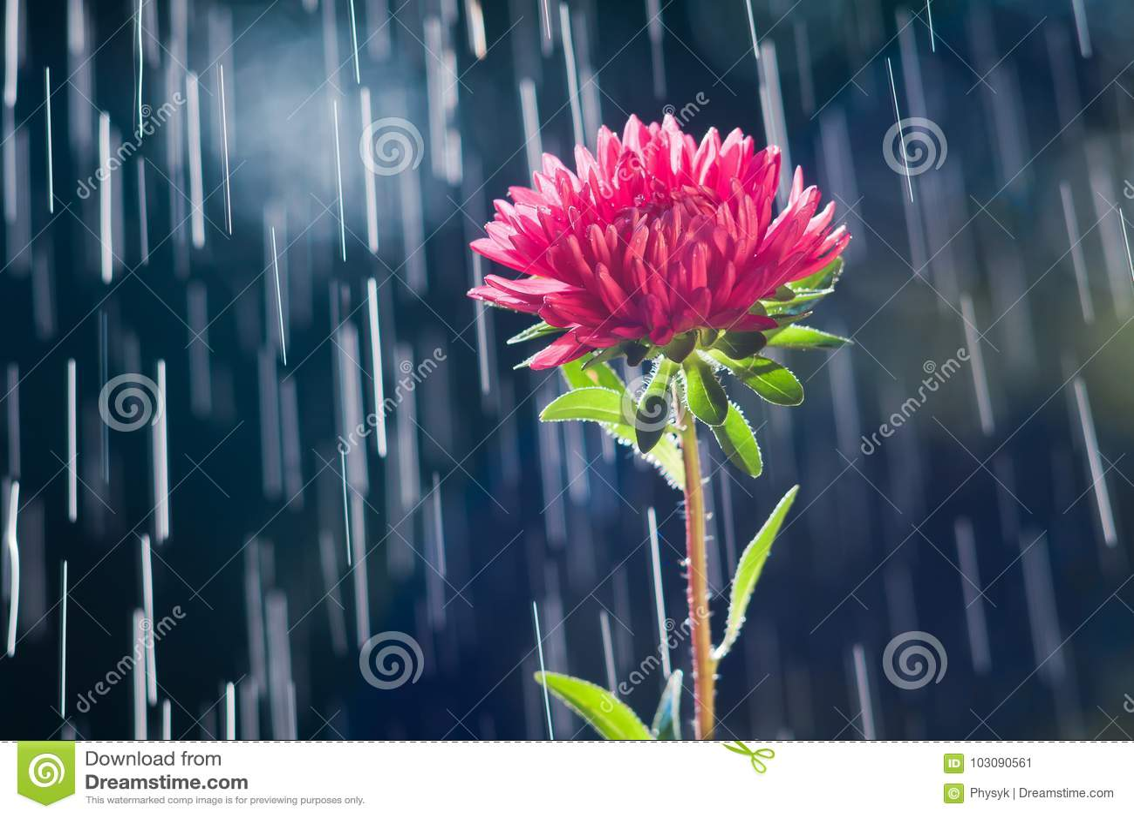 Цветок астры на следах предпосылки дождевых капель