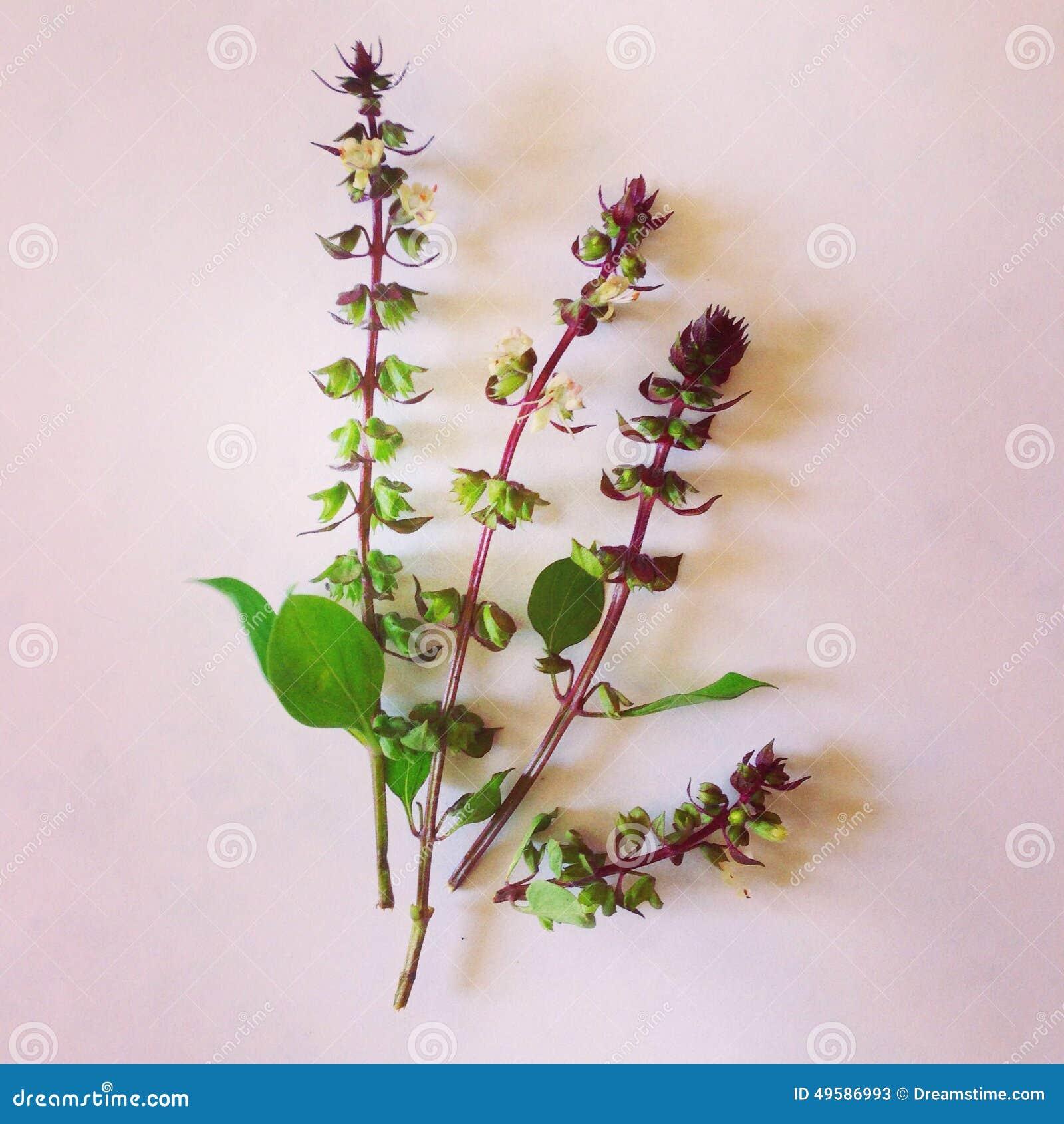 Базилик цветок