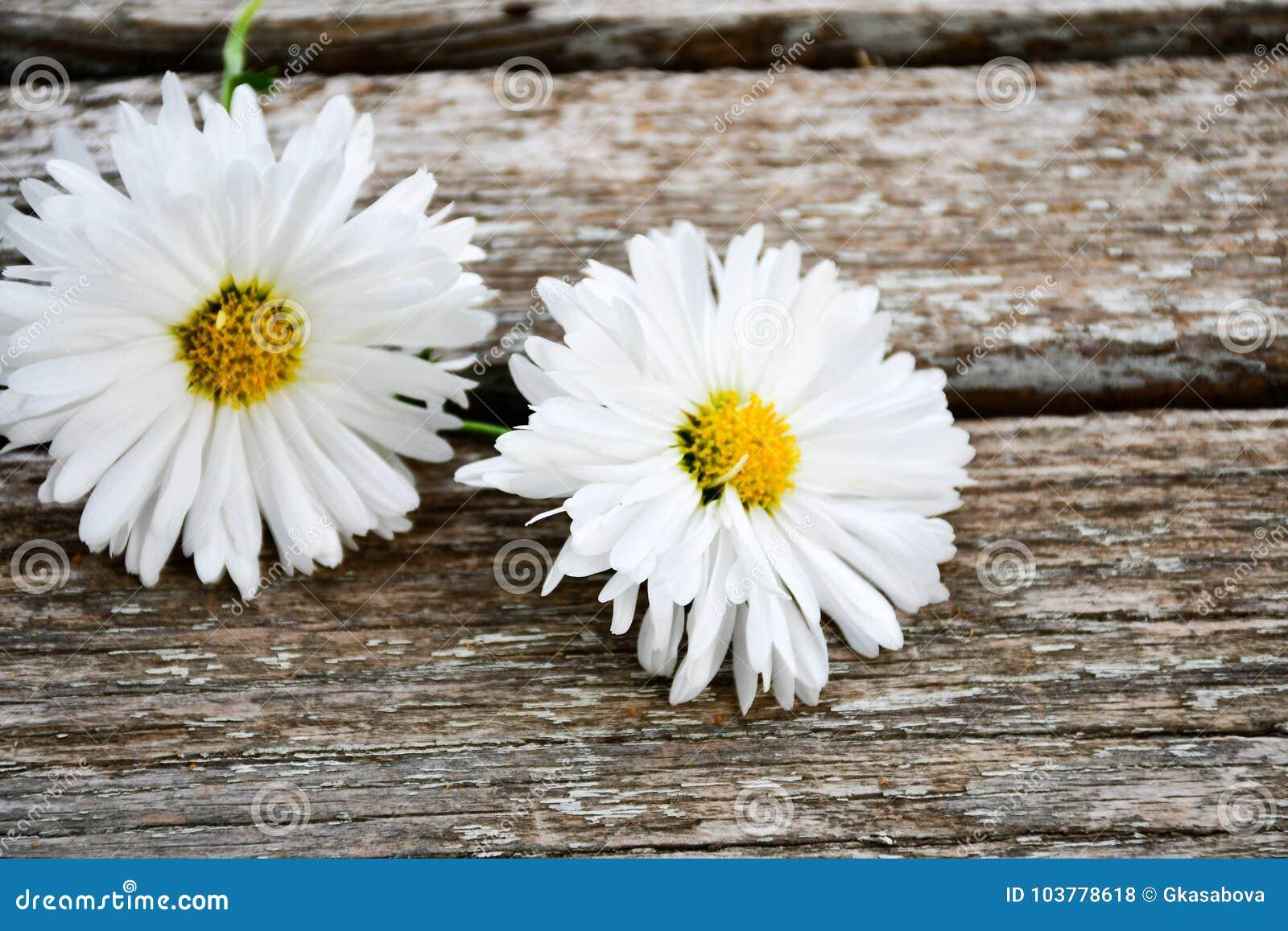 Цветок белой маргаритки