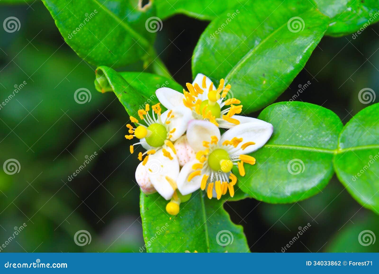 Цветок бергамота приносить на дереве