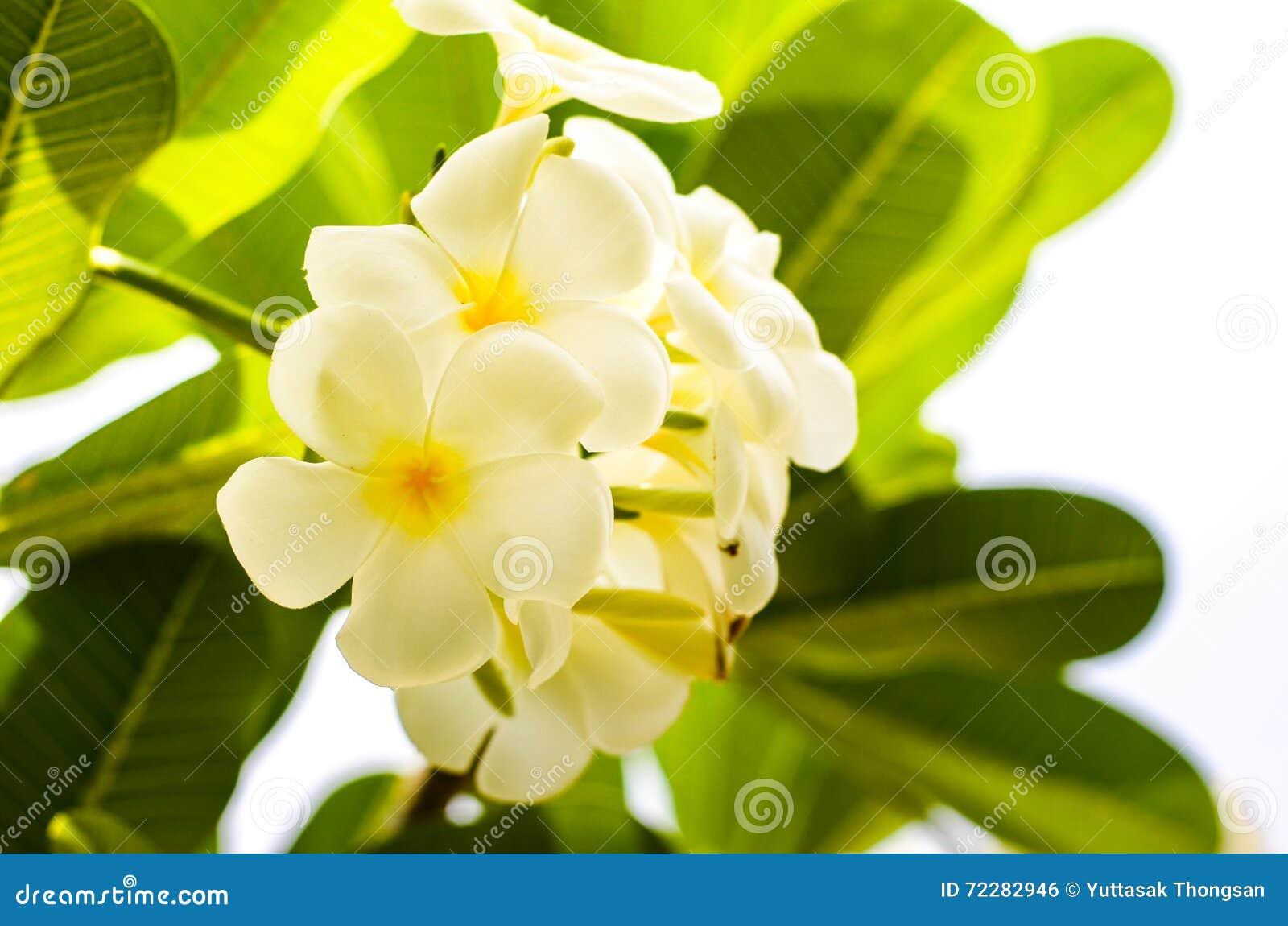 Download Цветок белого Frangipani тропический Стоковое Фото - изображение насчитывающей флористическо, листья: 72282946