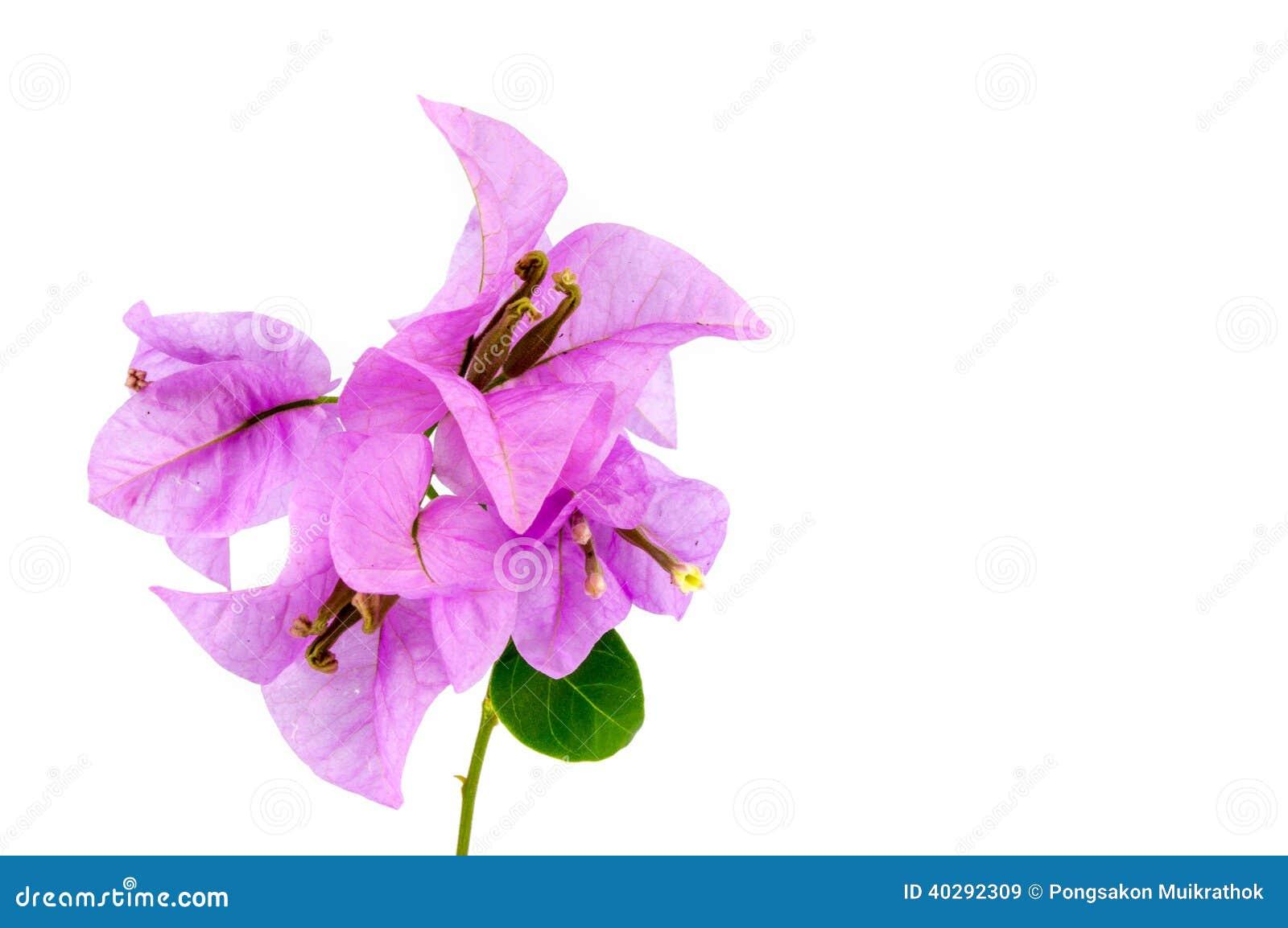 Цветок бугинвилии