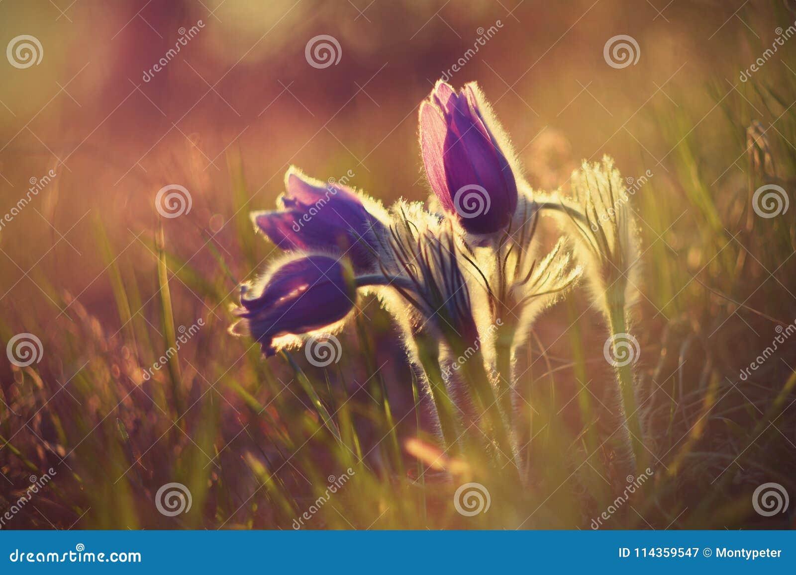 Цветок весеннего времени Красивый фиолетовый маленький меховой pasque-цветок Grandis Pulsatilla зацветая на луге весны на заходе