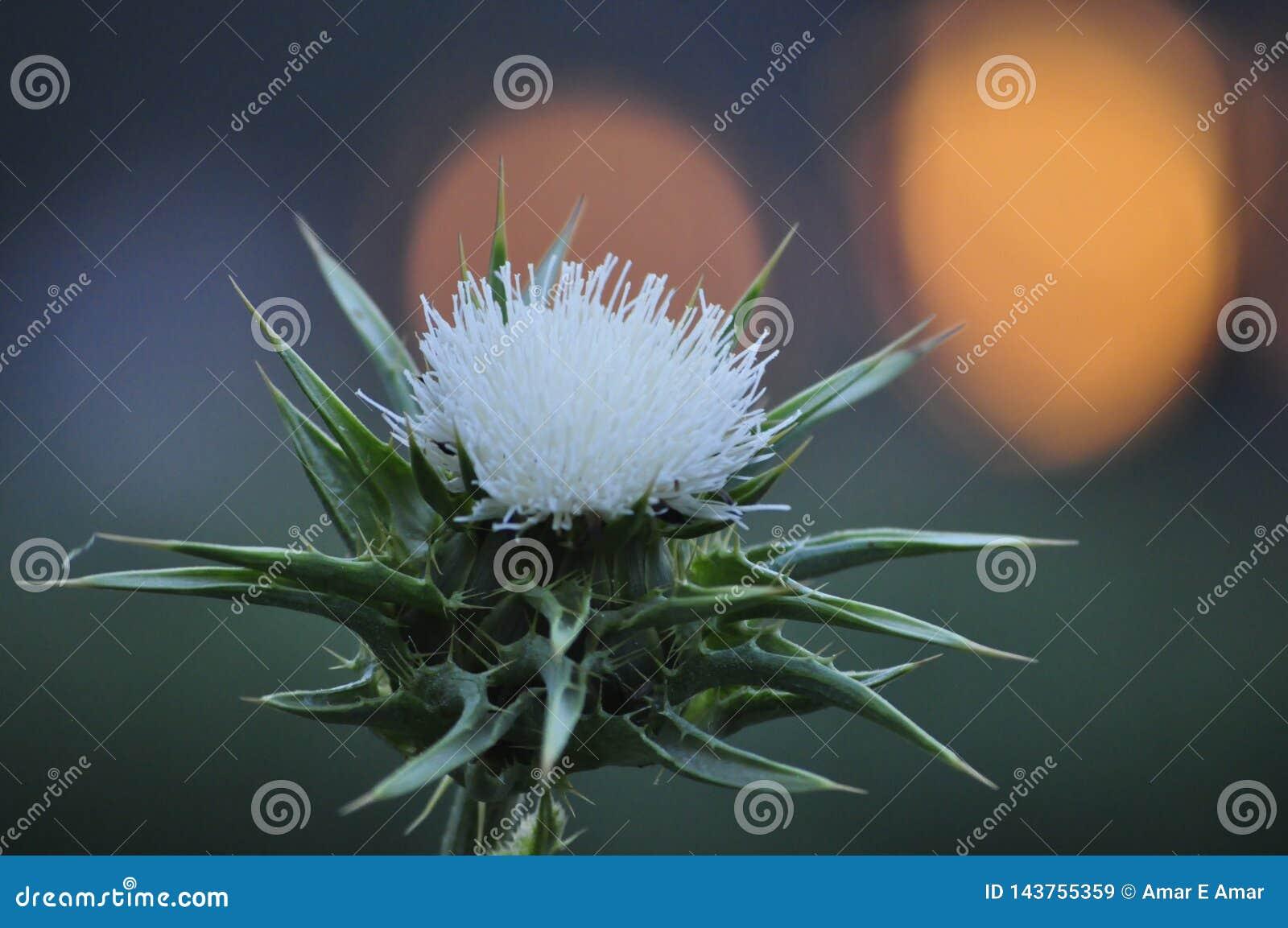 Цветок весны, Silybum с предпосылкой захода солнца, цвести взглядом