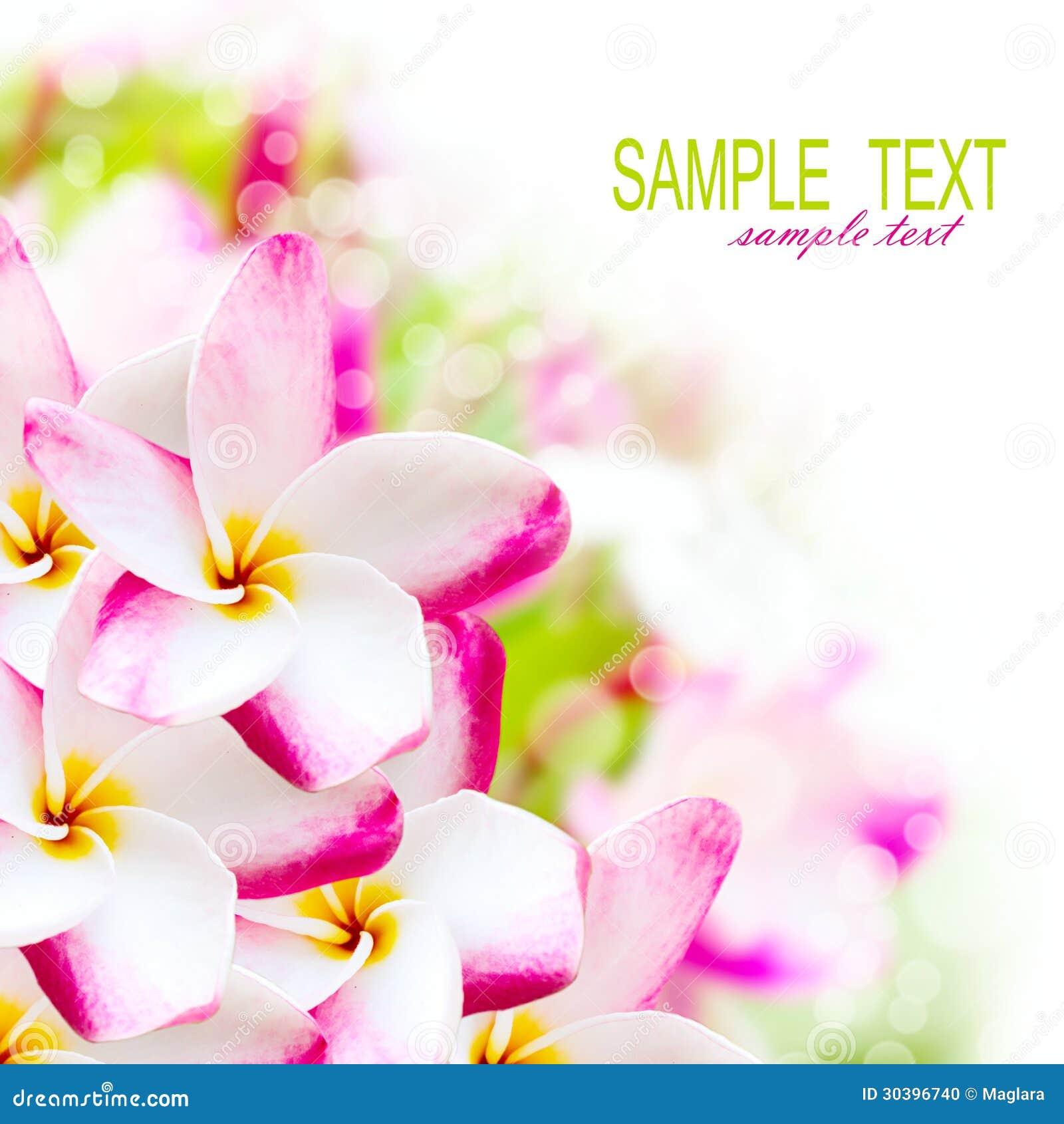Цветок Гавайских островов пинка plumeria Frangipani