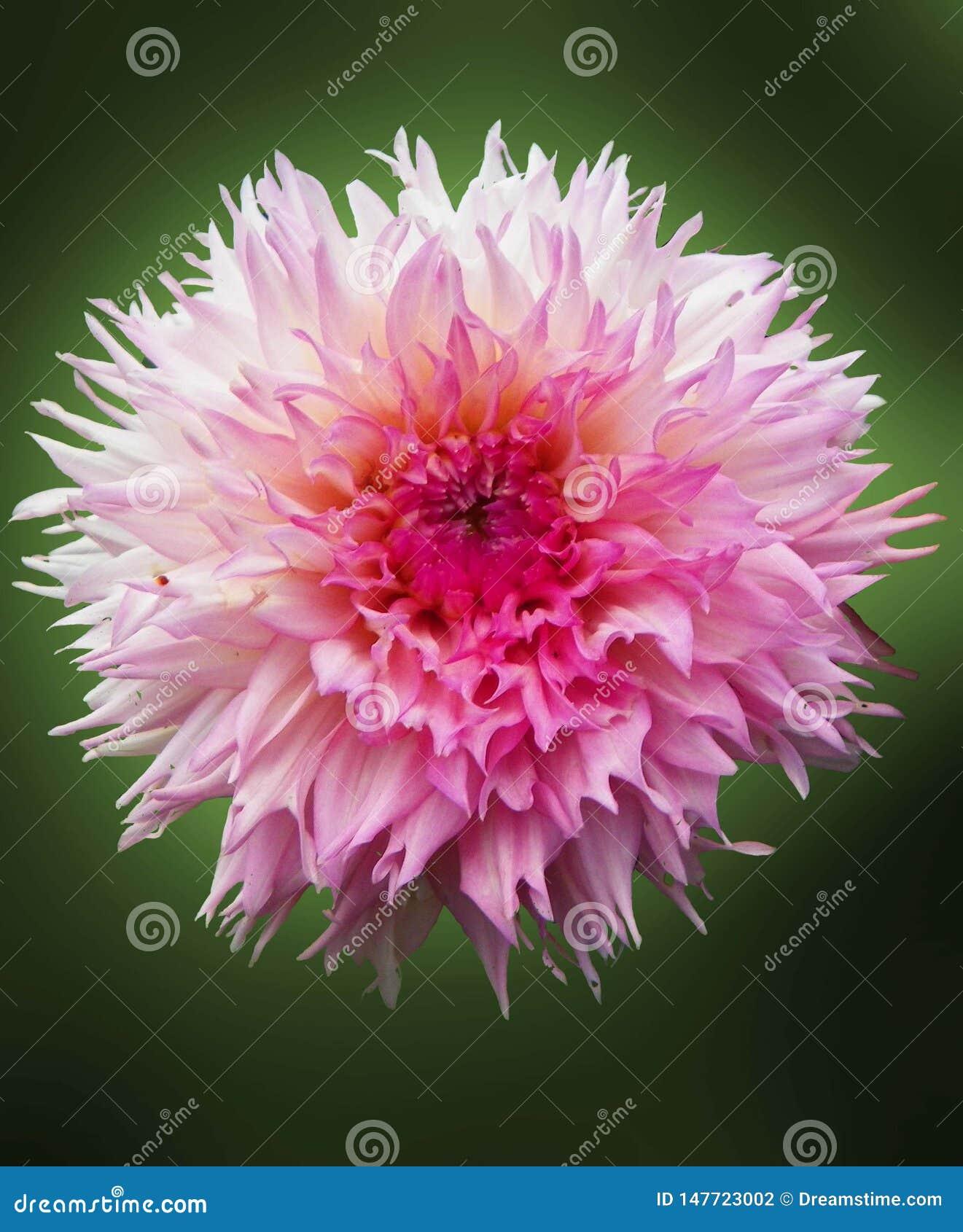 Цветок георгина на зеленой предпосылке