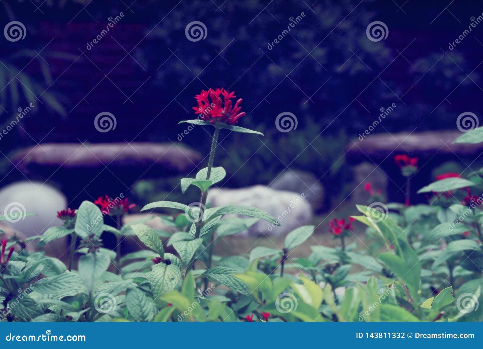 Цветок гортензии красный