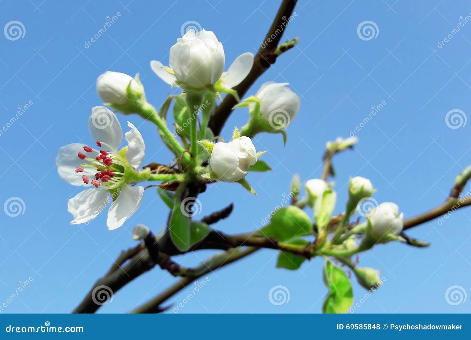 Фото цветок груши