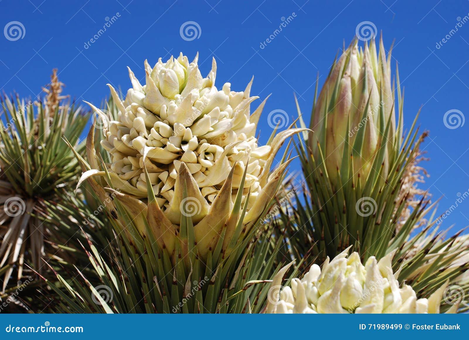Что за цветок юка