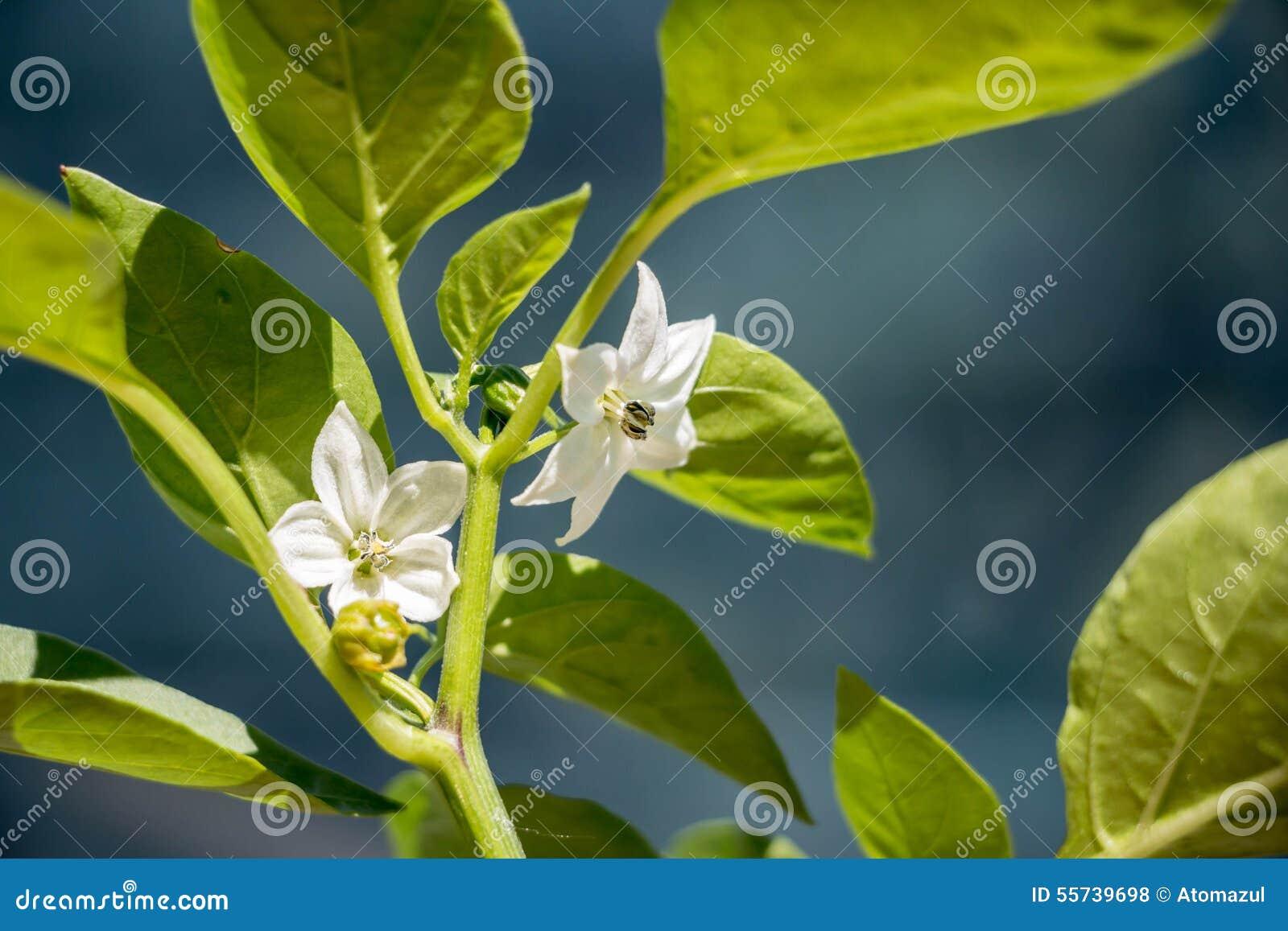 Цветок перец фото