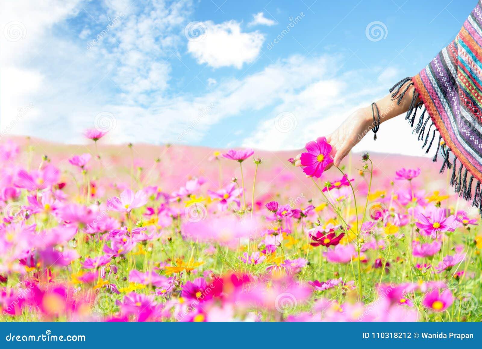 Цветок космоса касания руки женщин путешественника азиатский, свобода и ослабляет в ферме цветка,