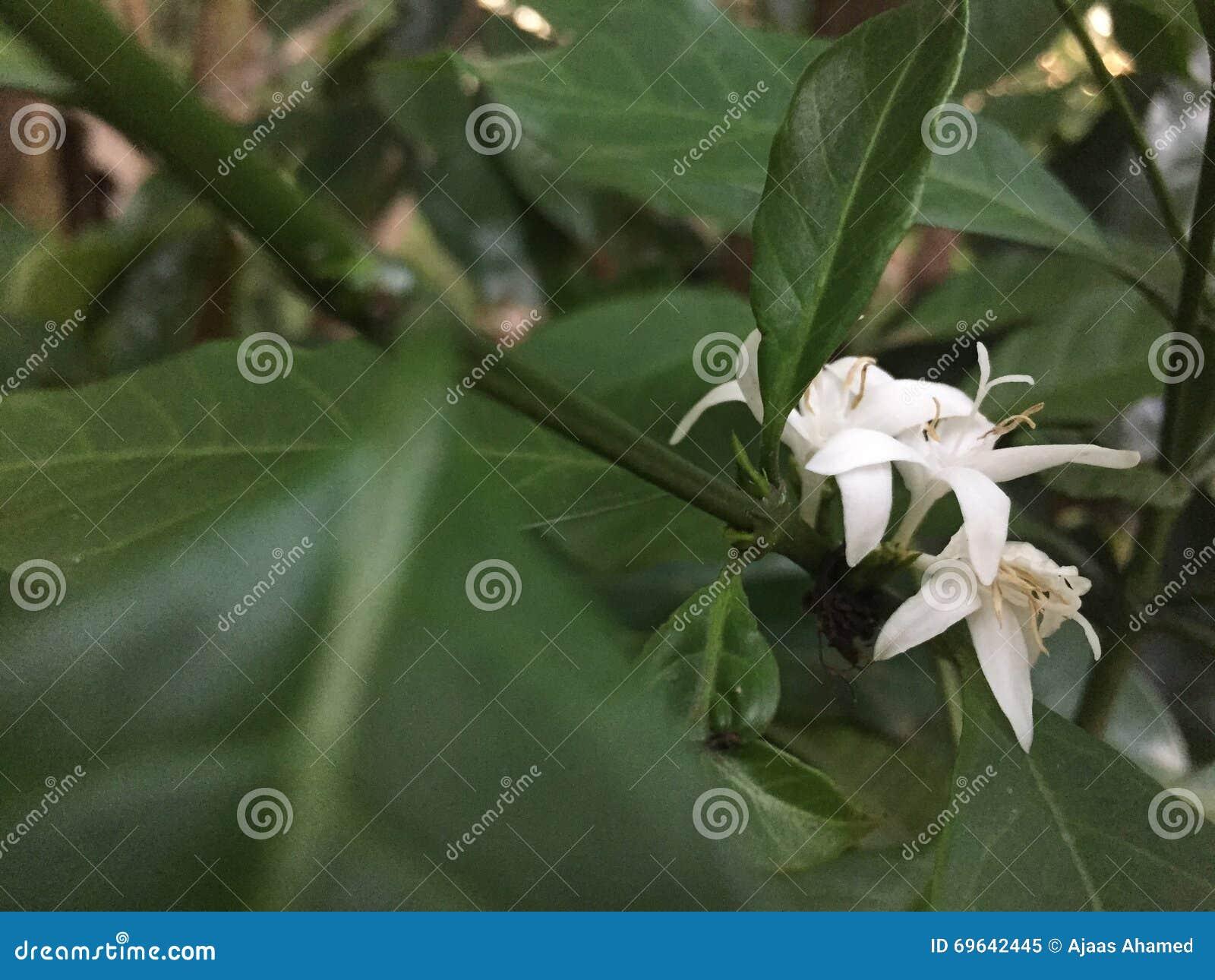 Цветок кофе в Шри-Ланка