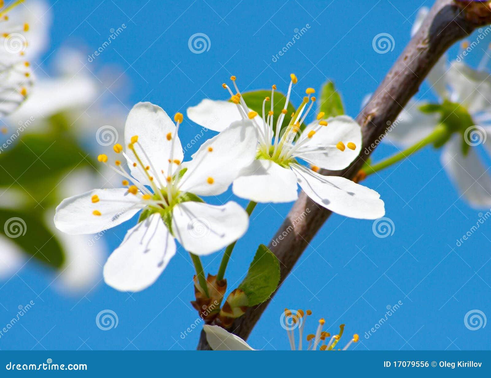 цветок крупного плана вишни