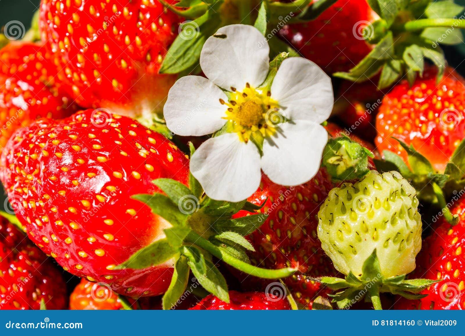 Цветок клубники на предпосылке красных свежих клубник