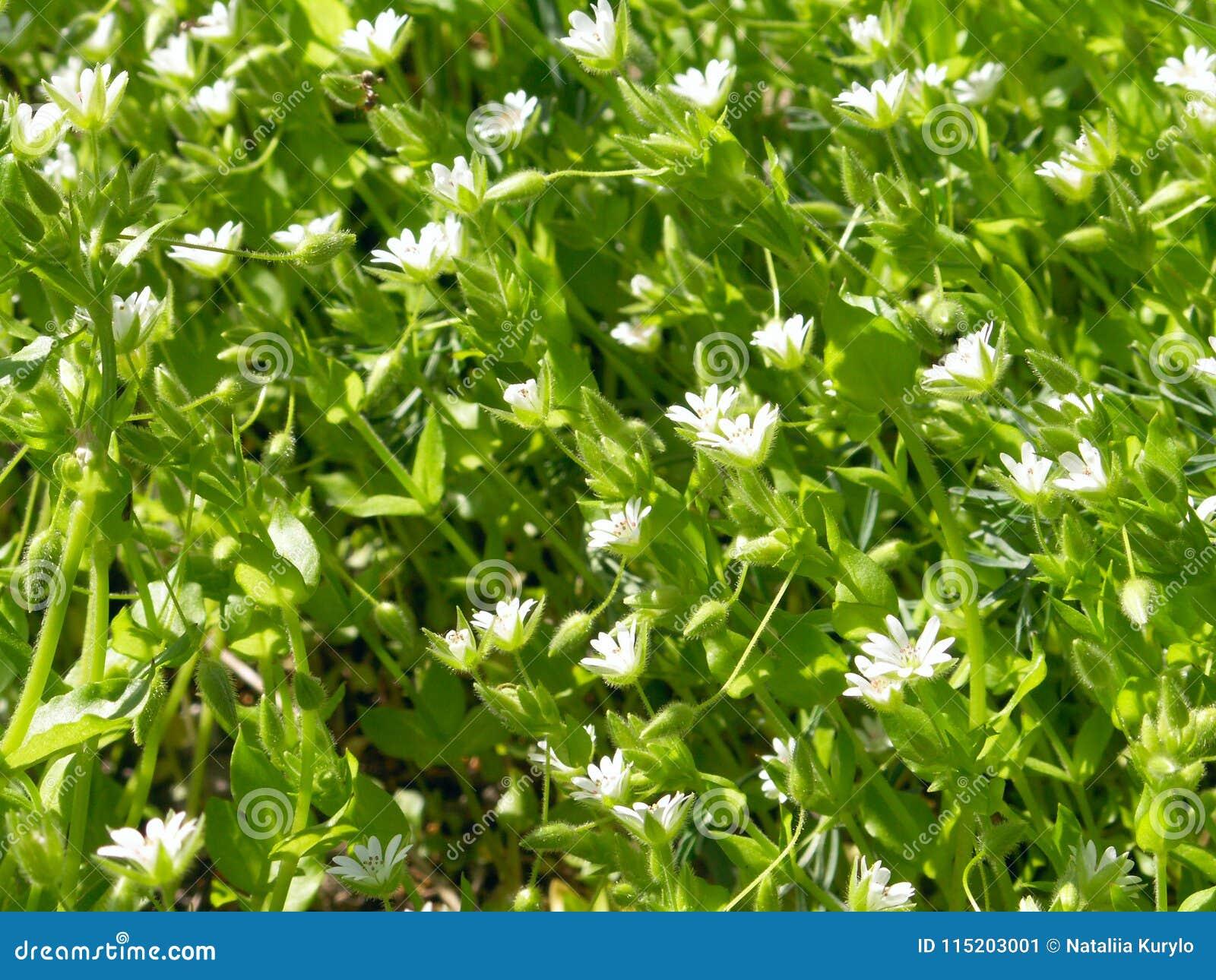 Цветок леса белой весны одичалый с росой