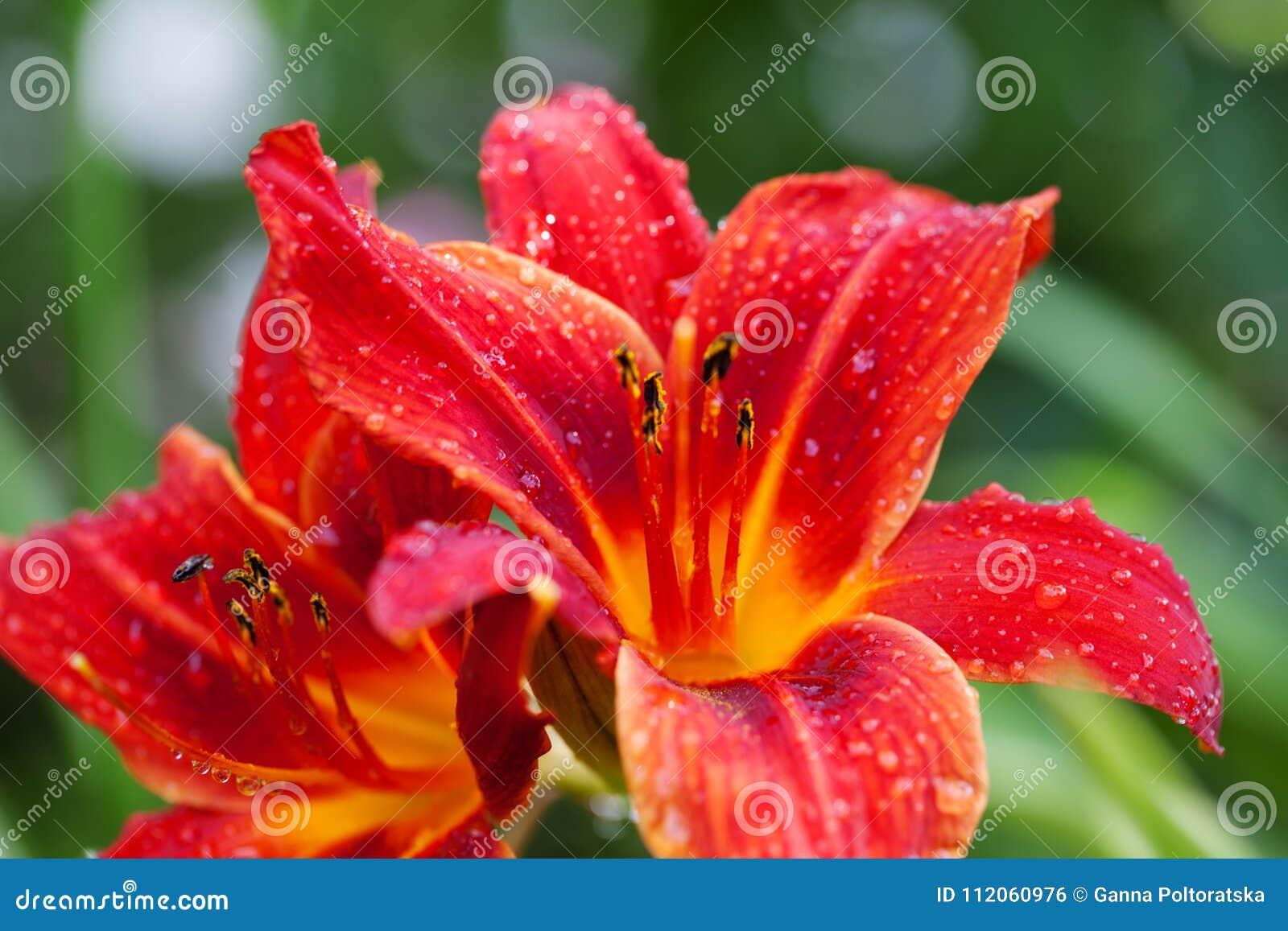 Цветок при цветении красные