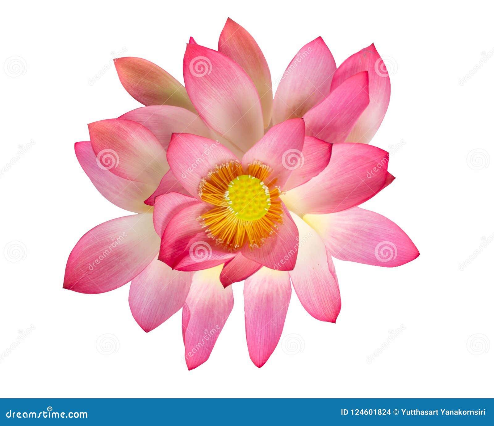 Цветок лотоса взгляд сверху красивый розовый изолированный на белом backgroun