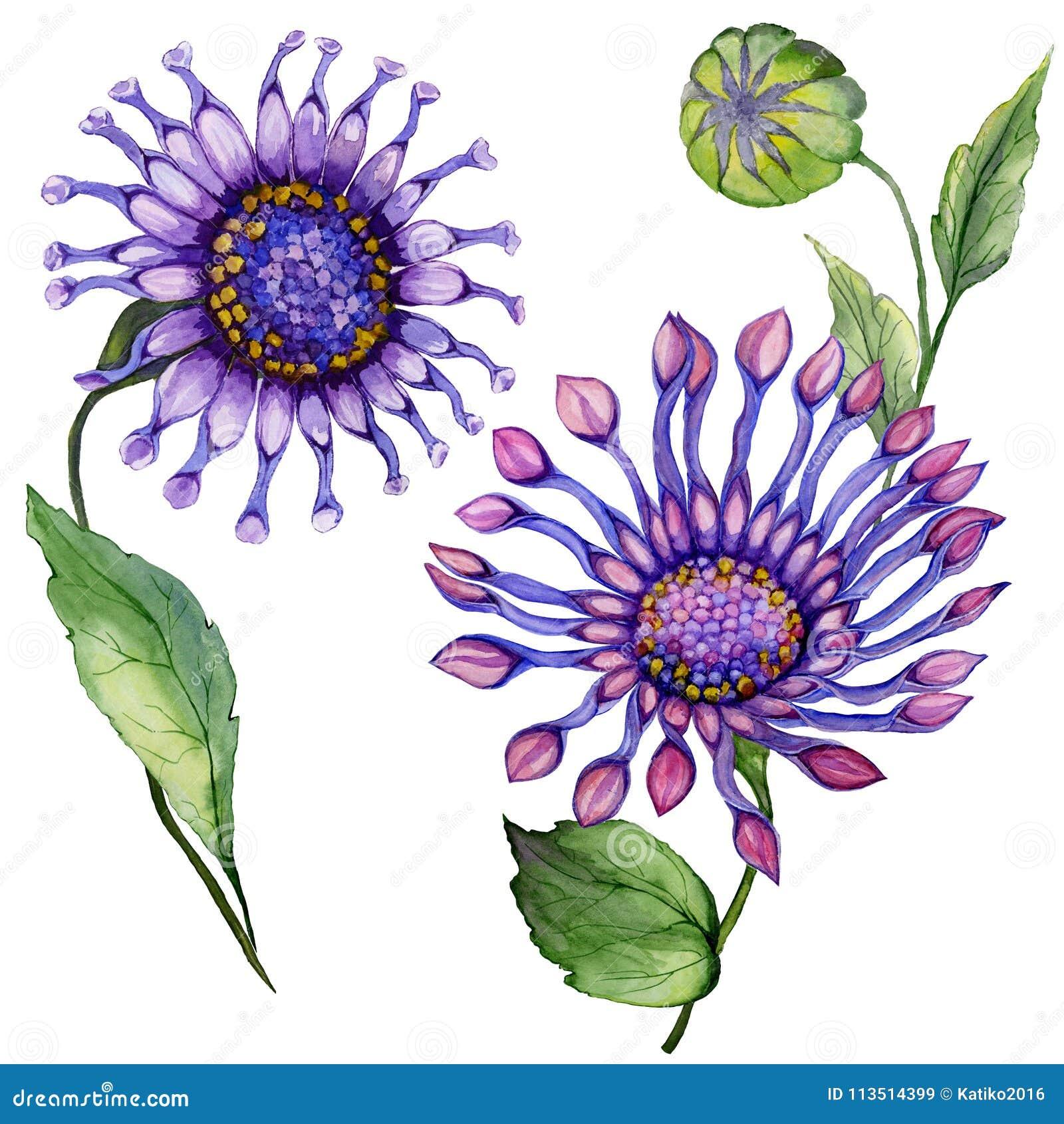 Цветок маргаритки красивого фиолетового osteospermum южно-африканский на стержне с зелеными листьями белизна изолированная предпо