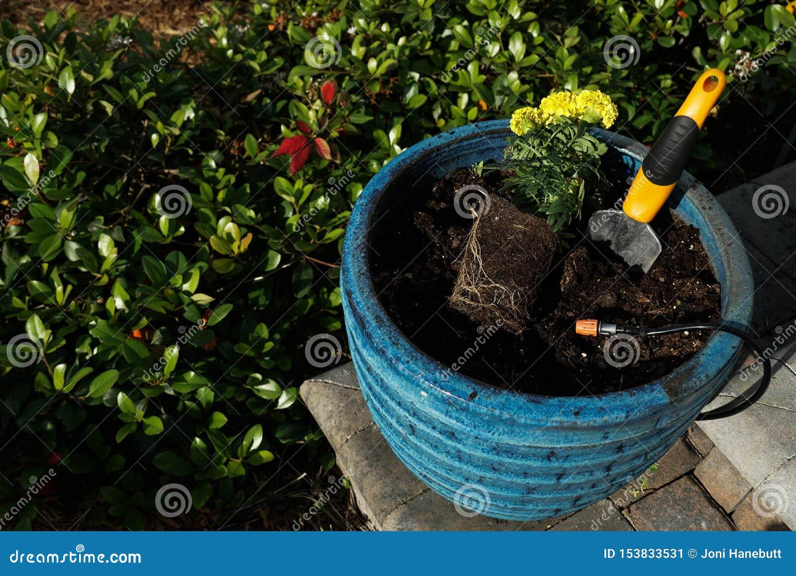 Цветок ноготк засаживая в большом голубом баке