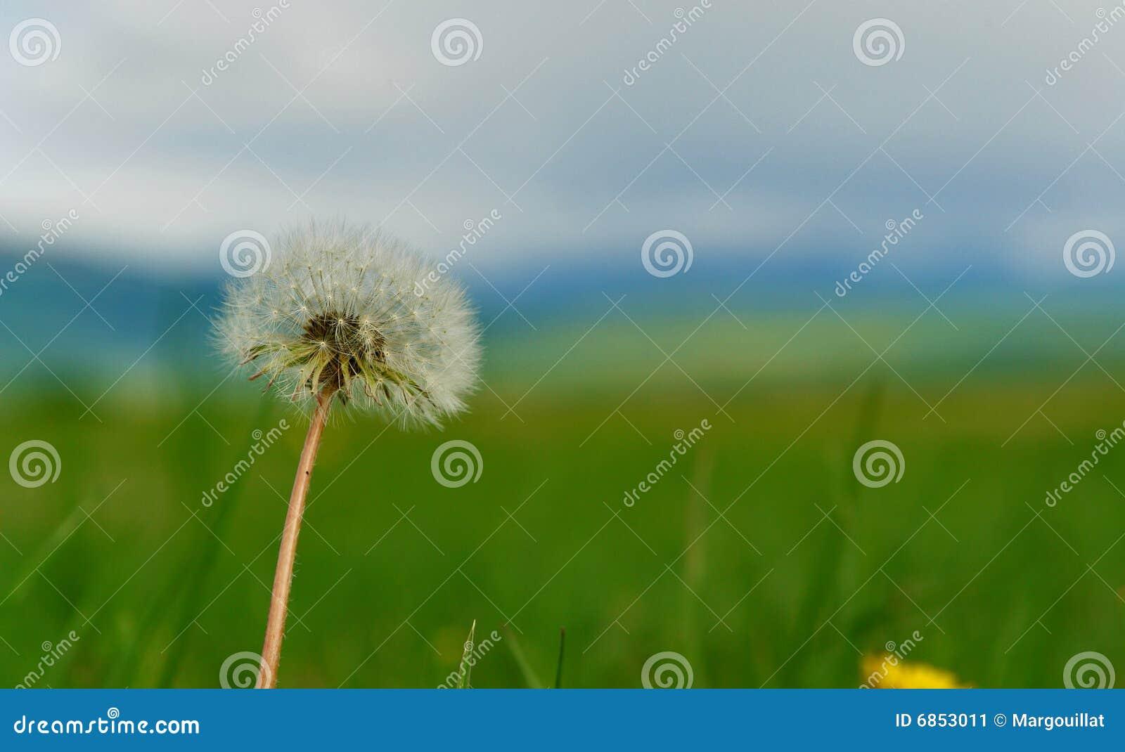 цветок одуванчика одиночный