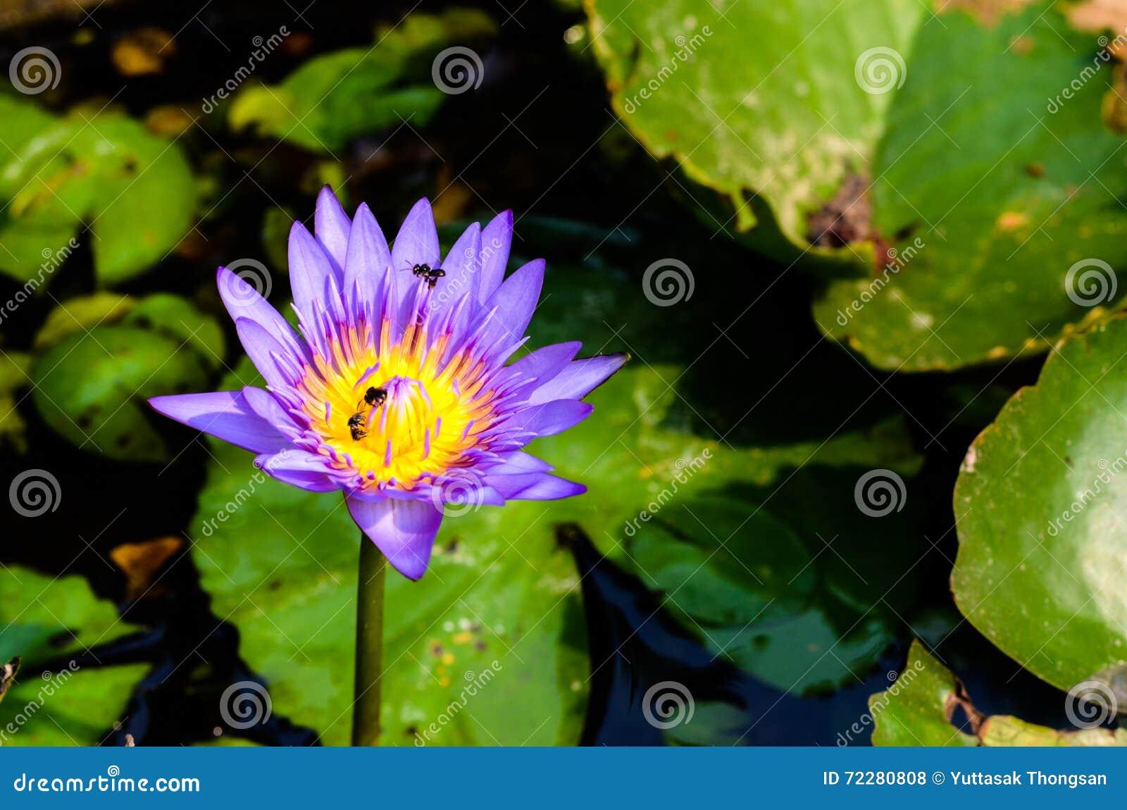 Download Цветок лотоса, красивая земля черноты лотоса Стоковое Фото - изображение насчитывающей флора, яркое: 72280808