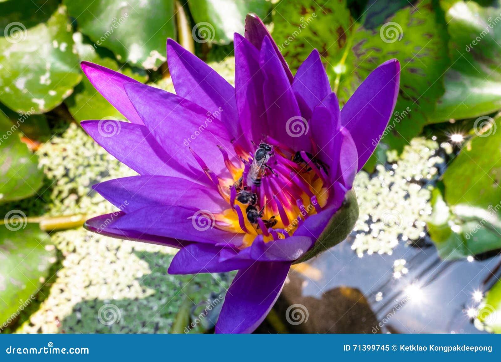 Цветок лотоса крупного плана фиолетовый с пчелой
