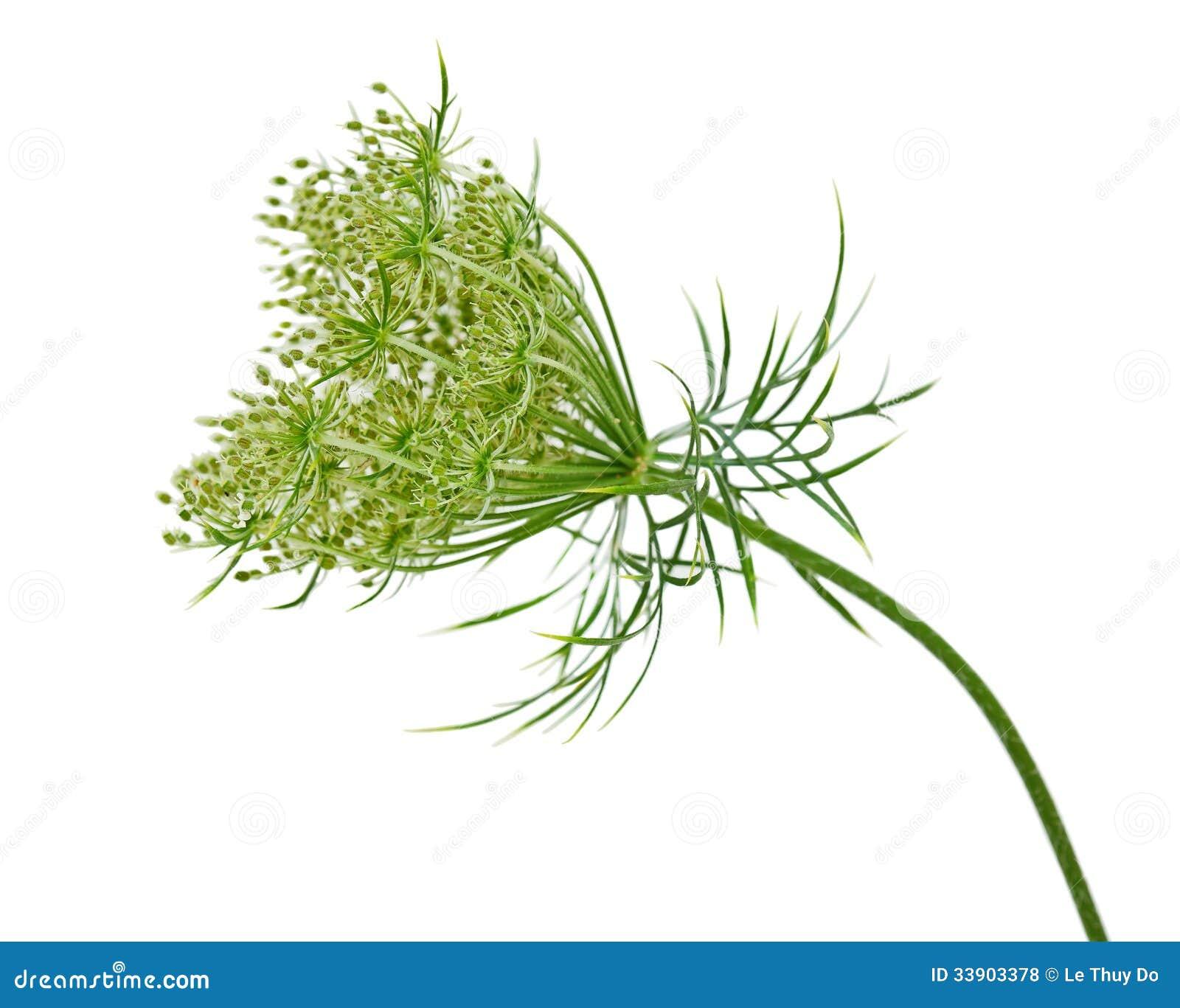 Цветок одичалой моркови