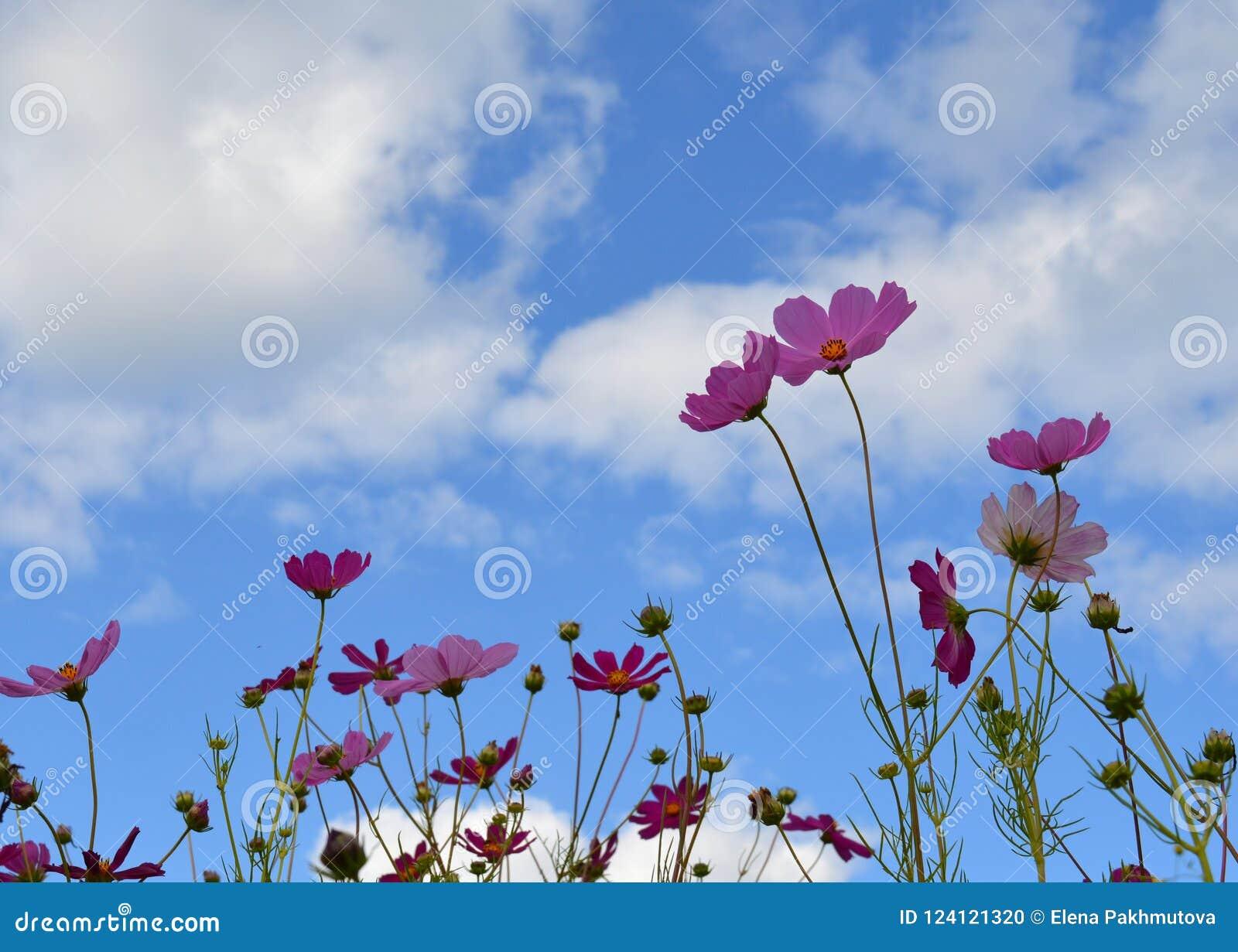 Цветок, поле, красный цвет, мак, природа, весна, небо, тюльпан, лето, зеленый цвет, цветение, цветки, синь, завод, красивый, крас