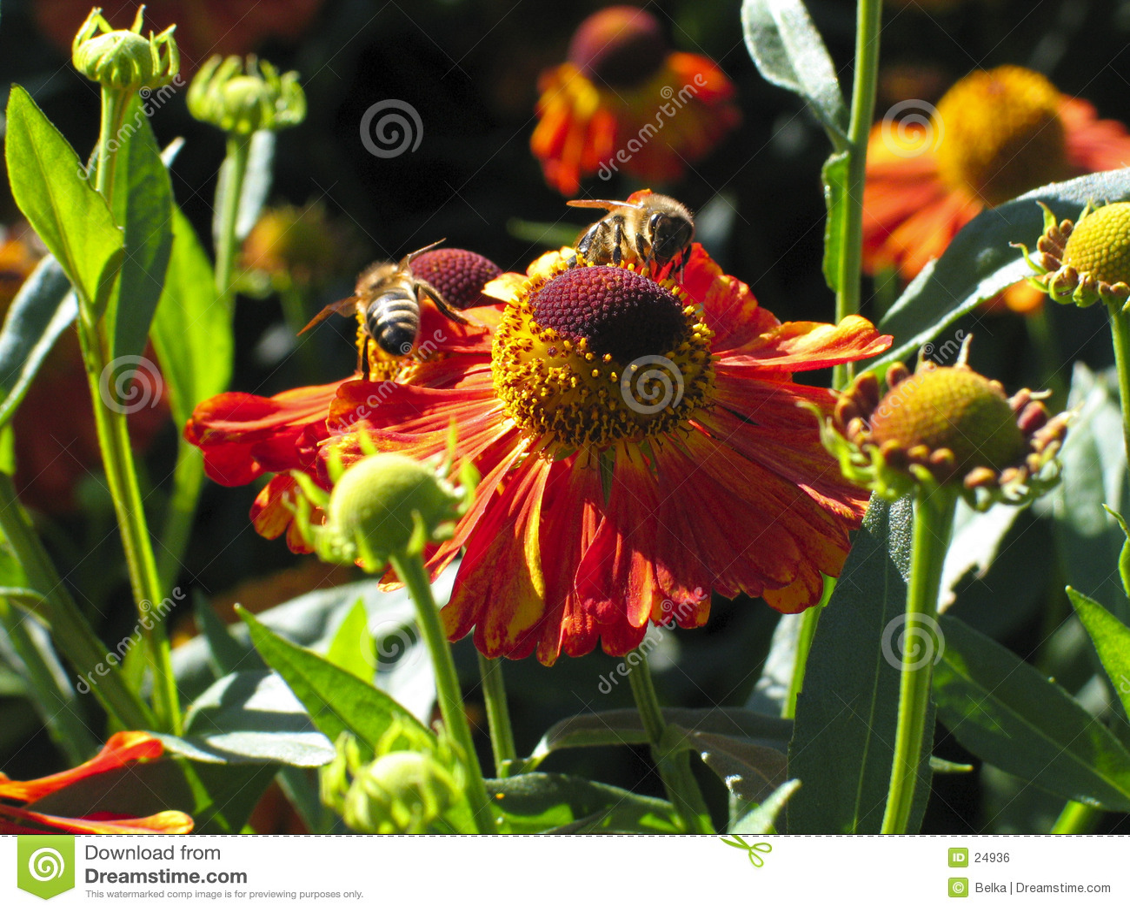 цветок пчелы
