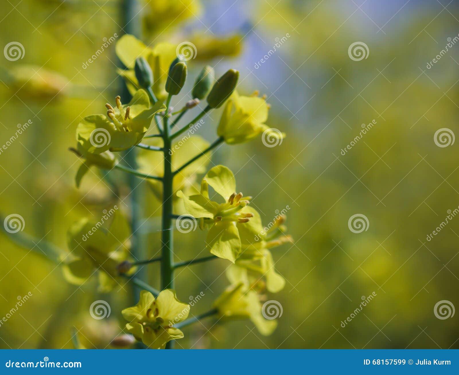 эстония цветок фото