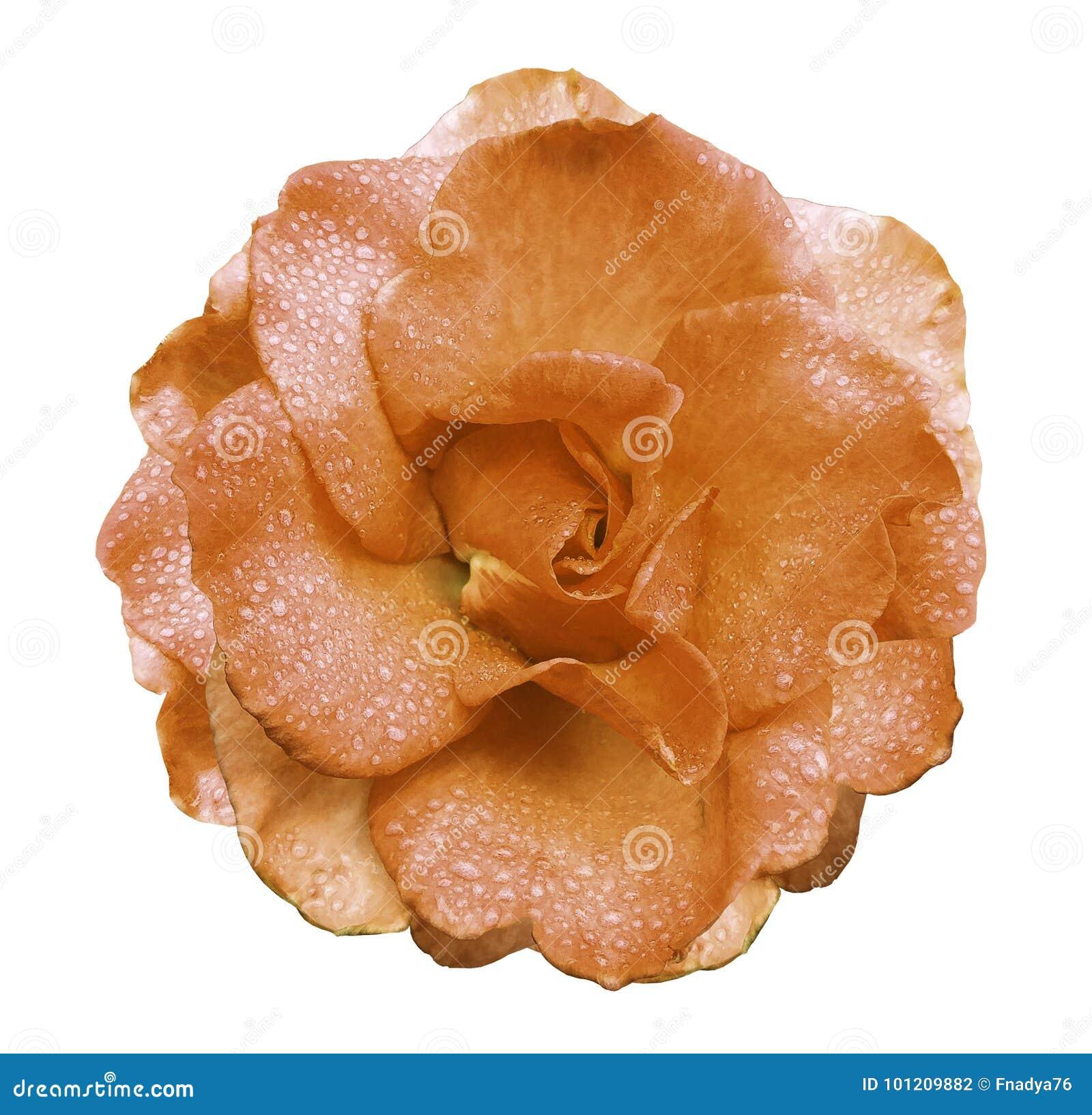 Цветок розы апельсина на белой предпосылке с путем клиппирования отсутствие теней Поднял с падениями воды на лепестках Closeu