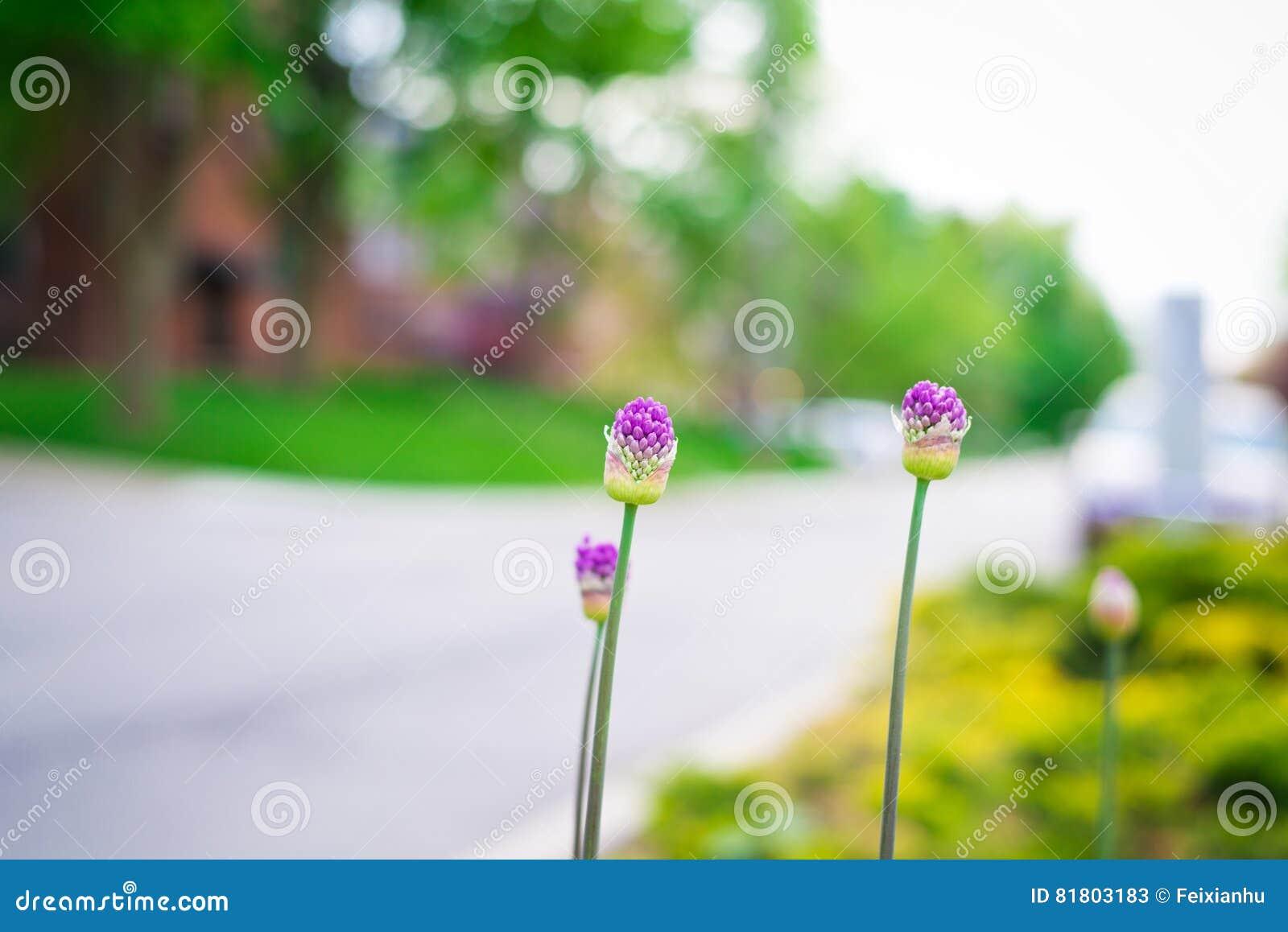Цветок сирени на стороне дороги