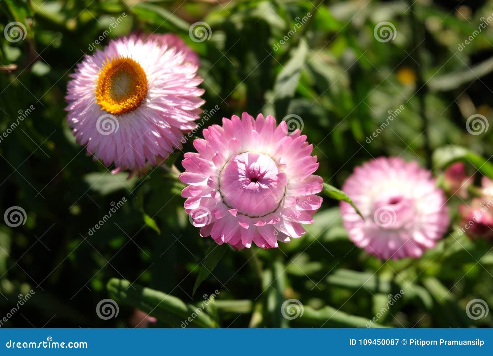 Цветок соломы в открытом саде Bracteatum Xerochrysum, зима fl