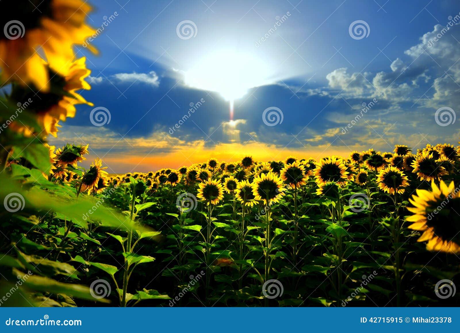 Цветок Солнця