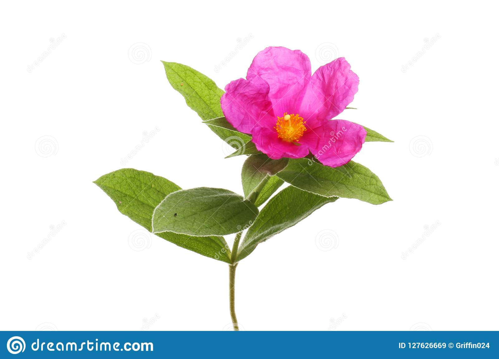 Цветок утеса розовый