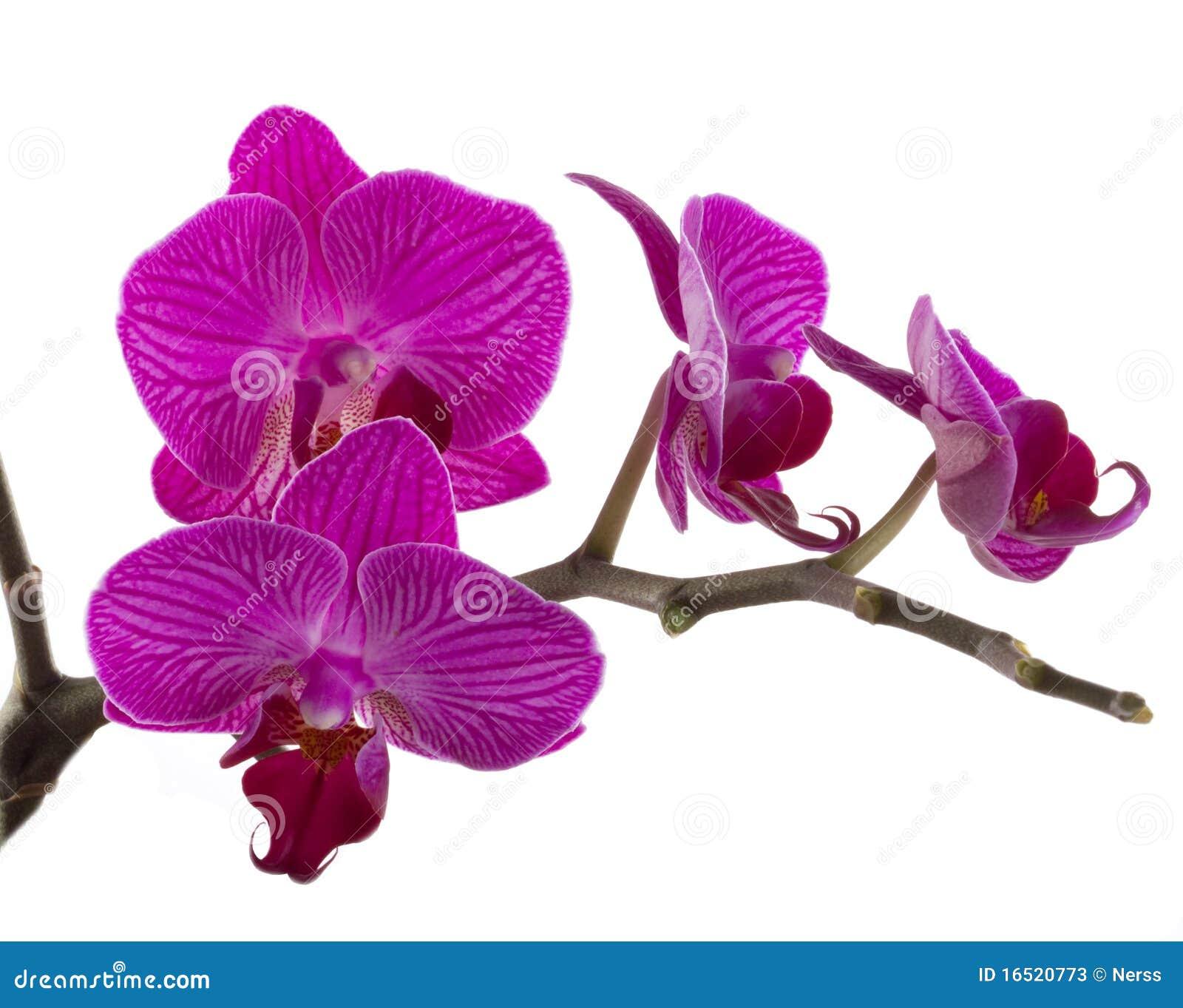 цветок цветет phalaenopsis орхидей орхидеи