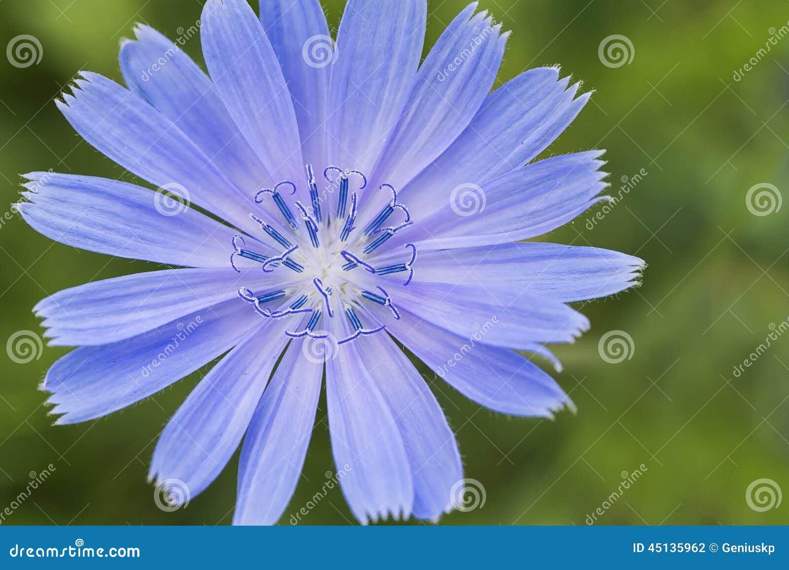 Цветок цикория фото