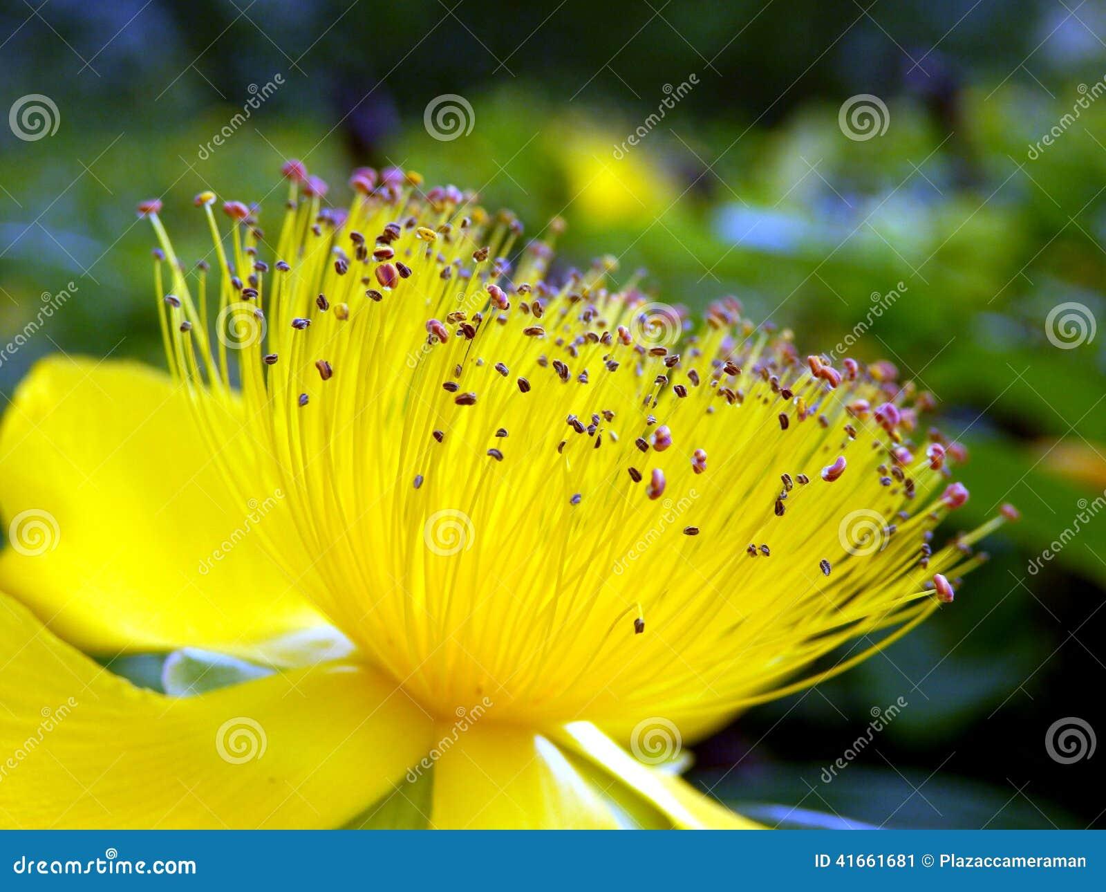 Цветок calcyinum зверобоя