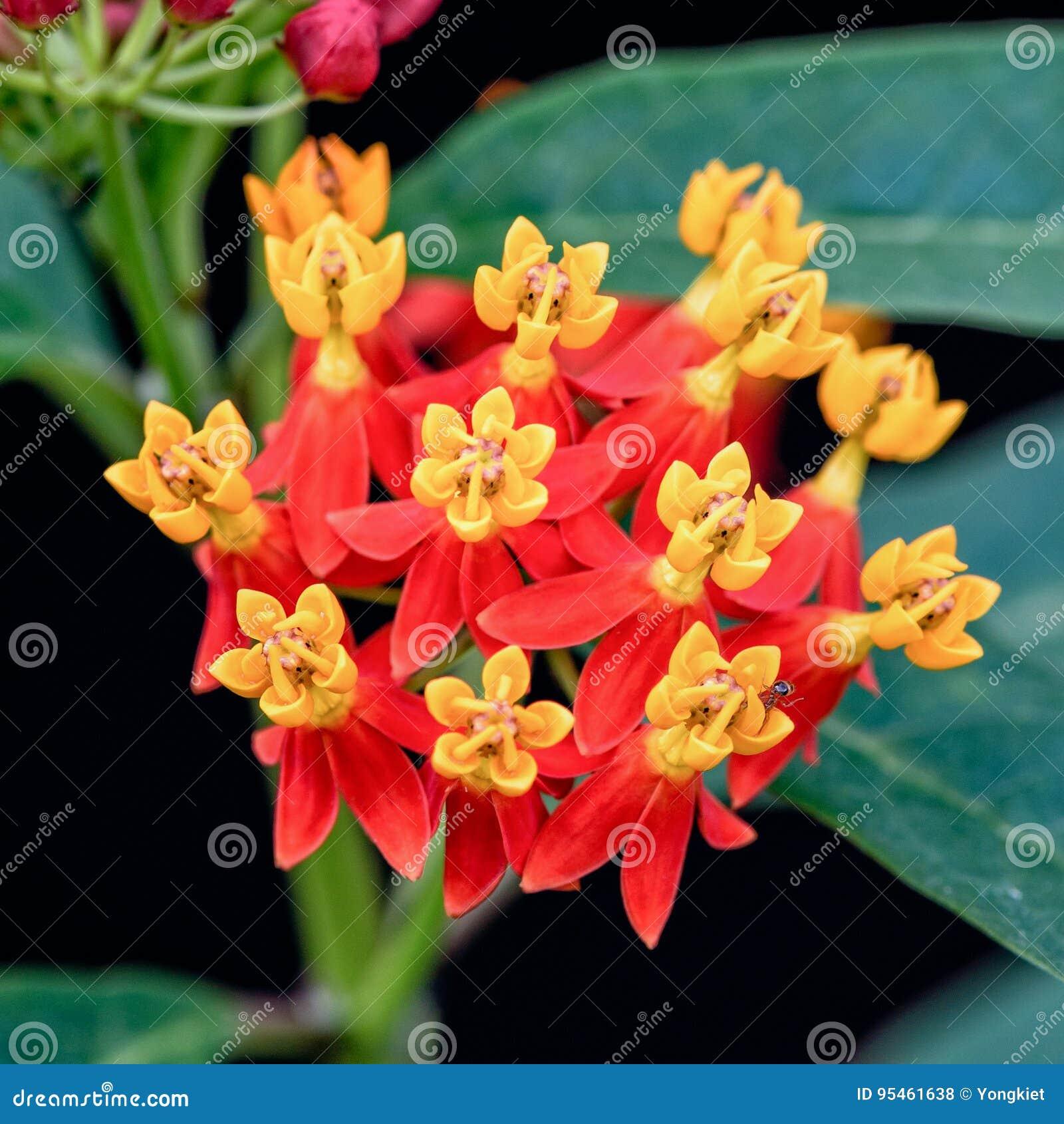 Цветок curassavica Asclepias