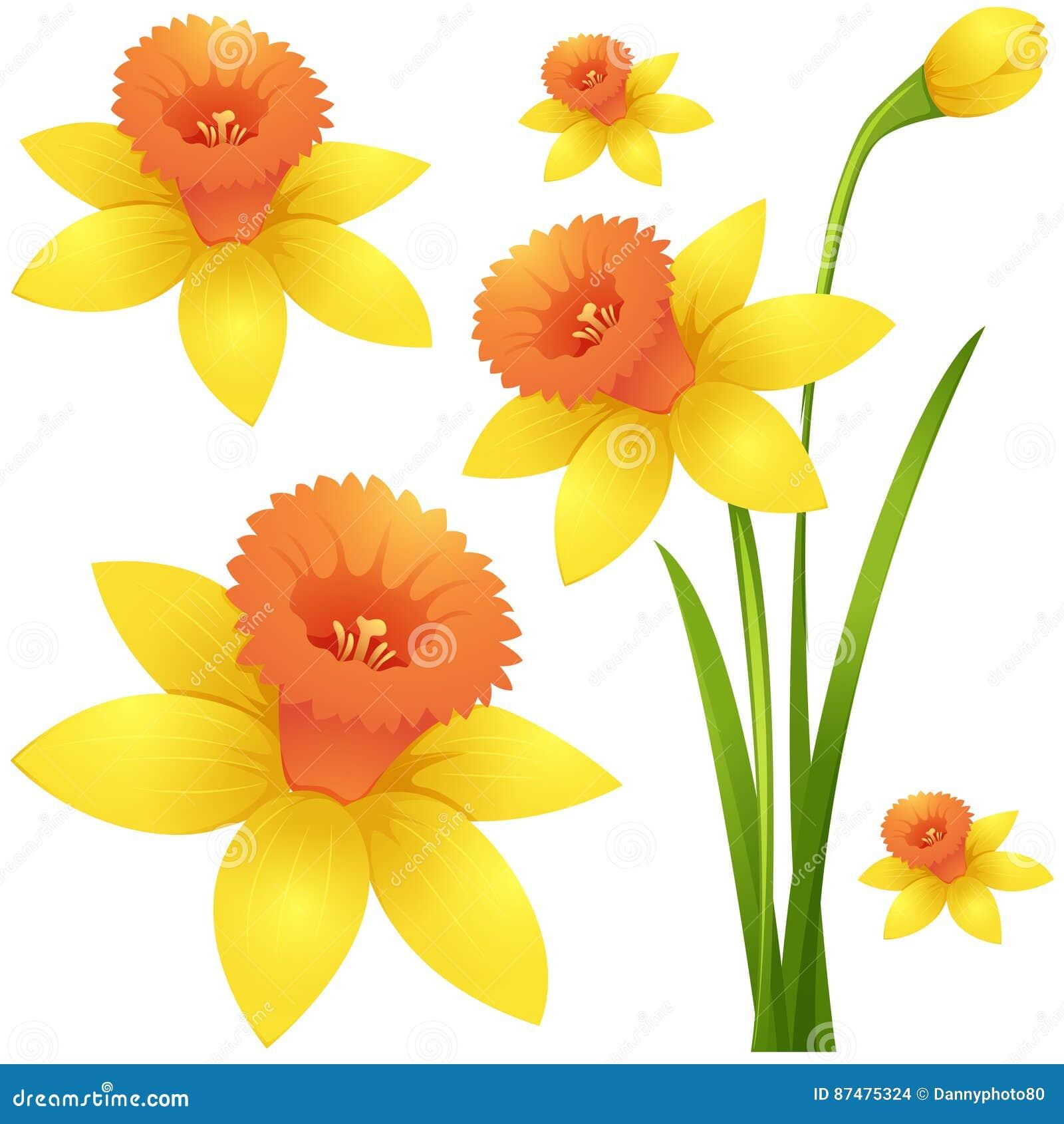 Цветок Daffodil в желтом цвете