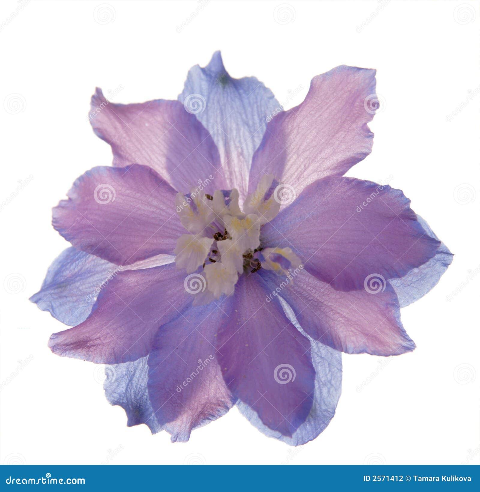 цветок delphinioum просвечивающий