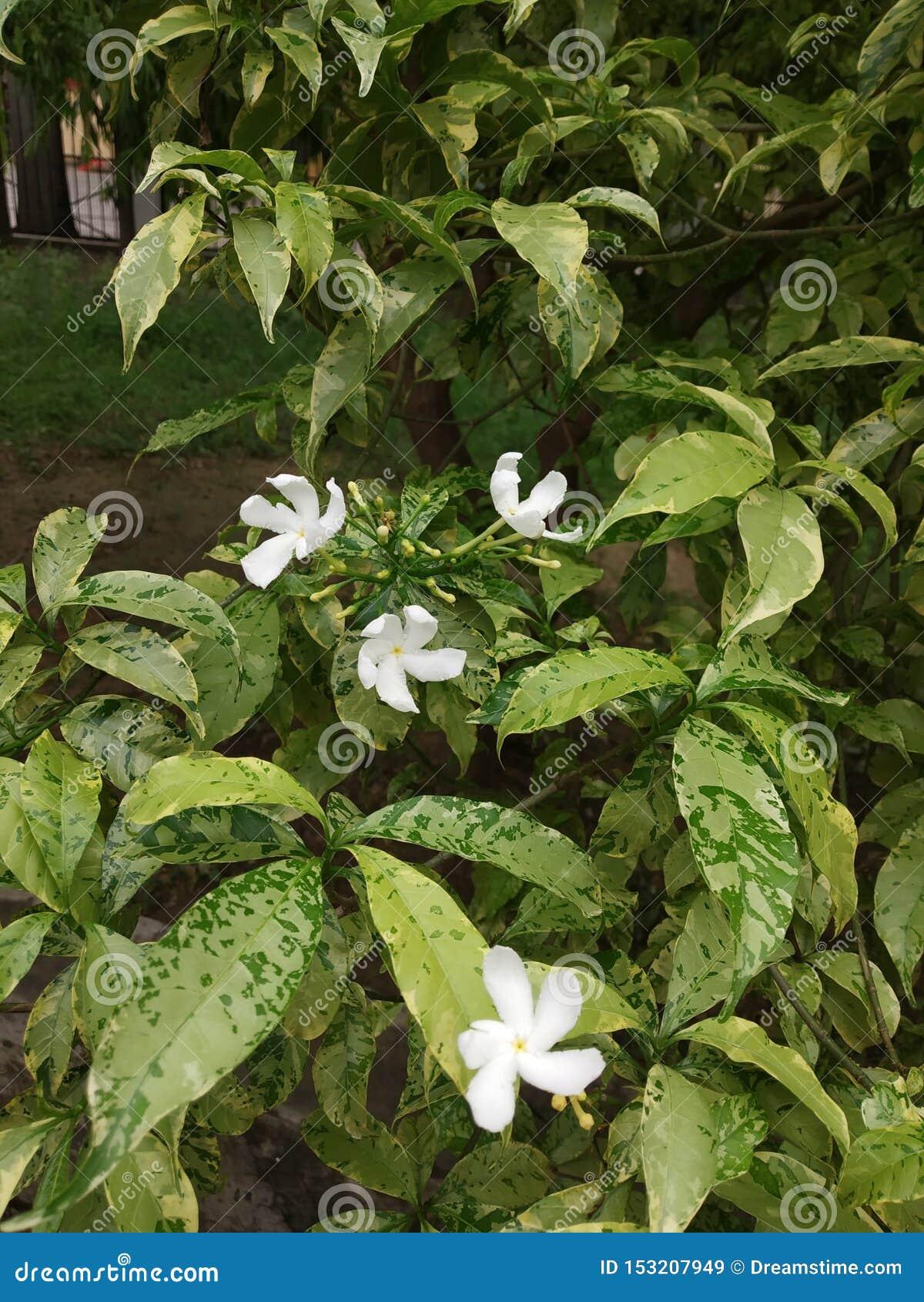 Цветок Juhi сада