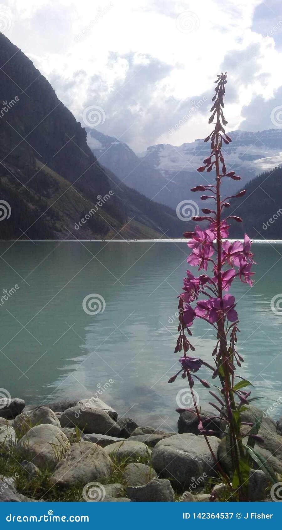 Цветок Lake Louise